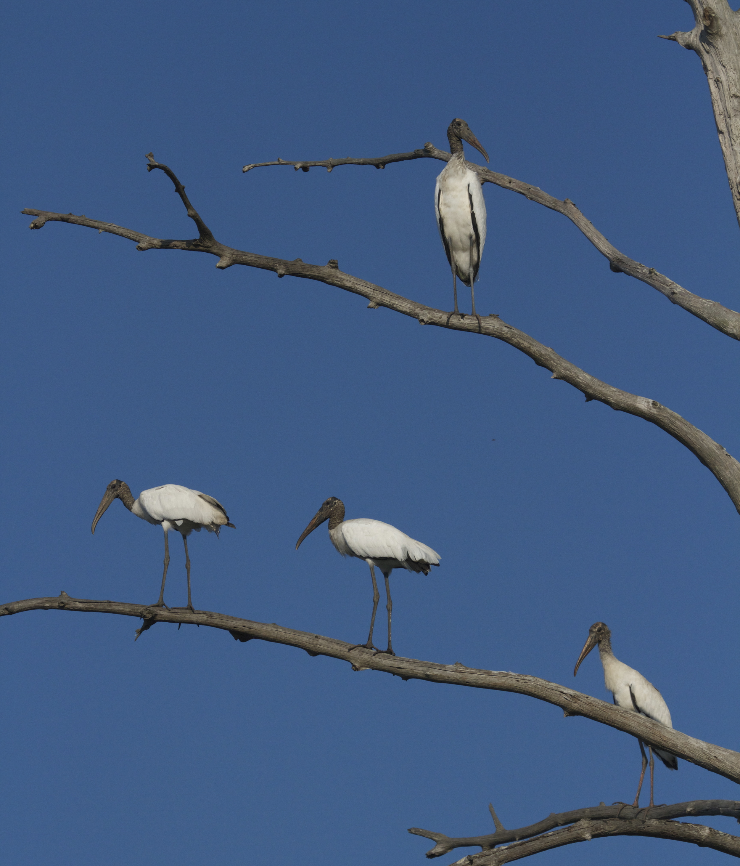 A quartet of Wood Storks stare down from the limbs of an old dead tree near neighbor Jim's.