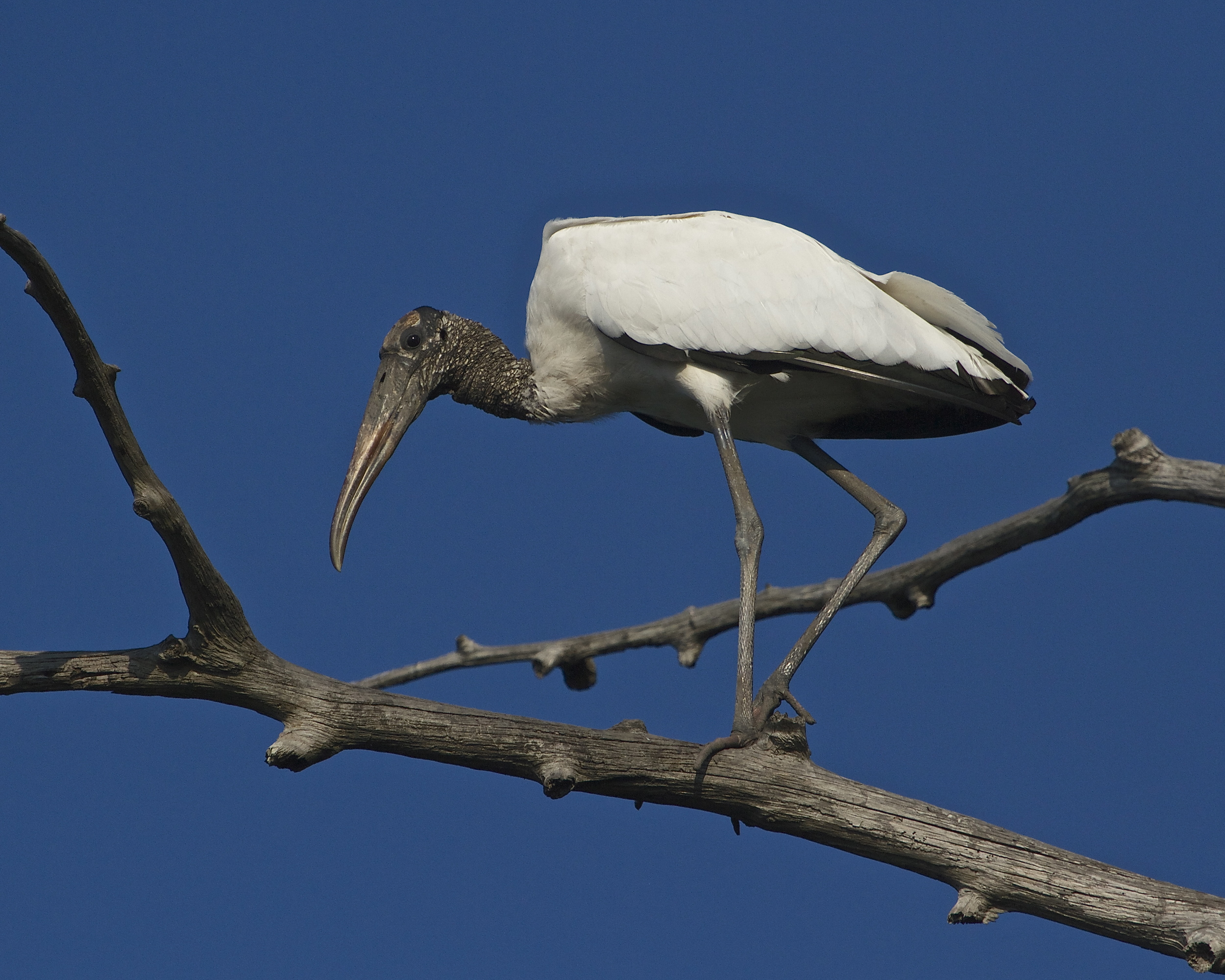 "Just like the desert buzzard ..."" Patience Hell, I want to kill something ""  is the look on the Wood Stork's face."