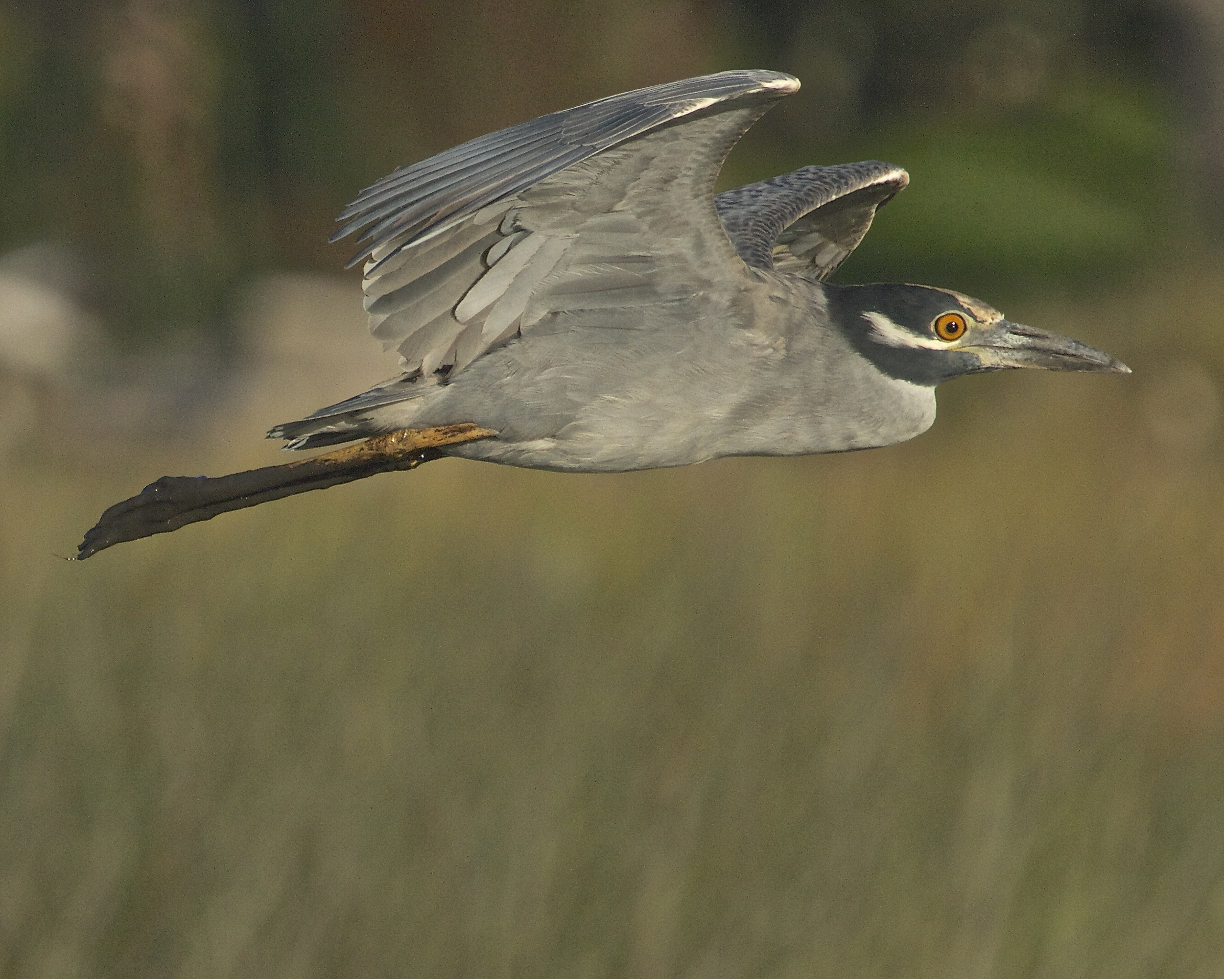 George, the Yellow Crowned Night Heron has been gathering dirt on someone, and it is all over his legs.