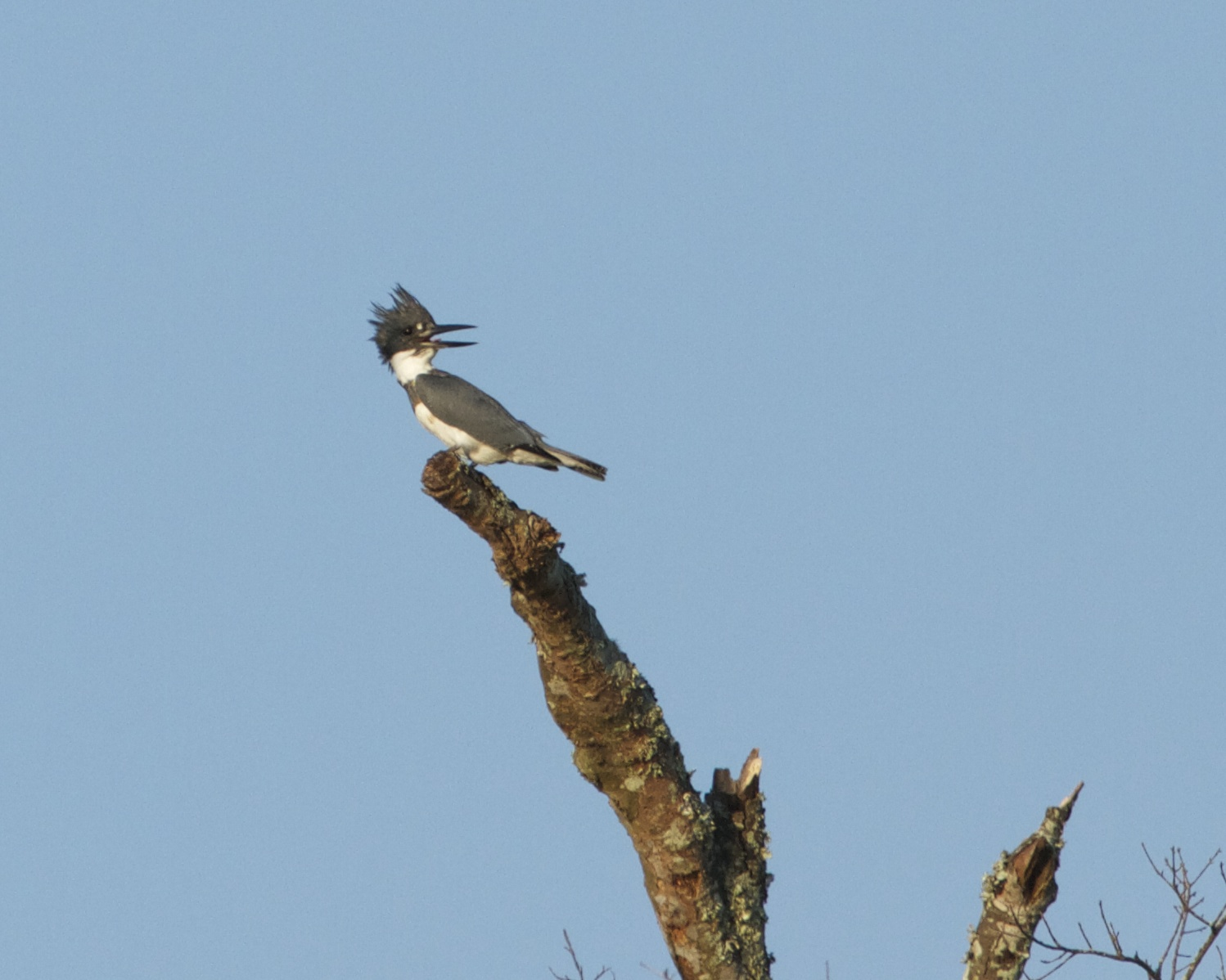 The Kingfisher is perturbed about the neighboring doves taking all the best branches to sit on!