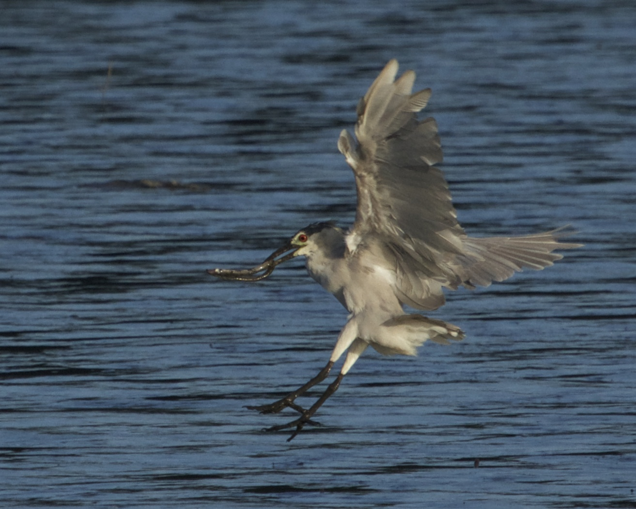 Black Crowned Night Heron gets a snake!