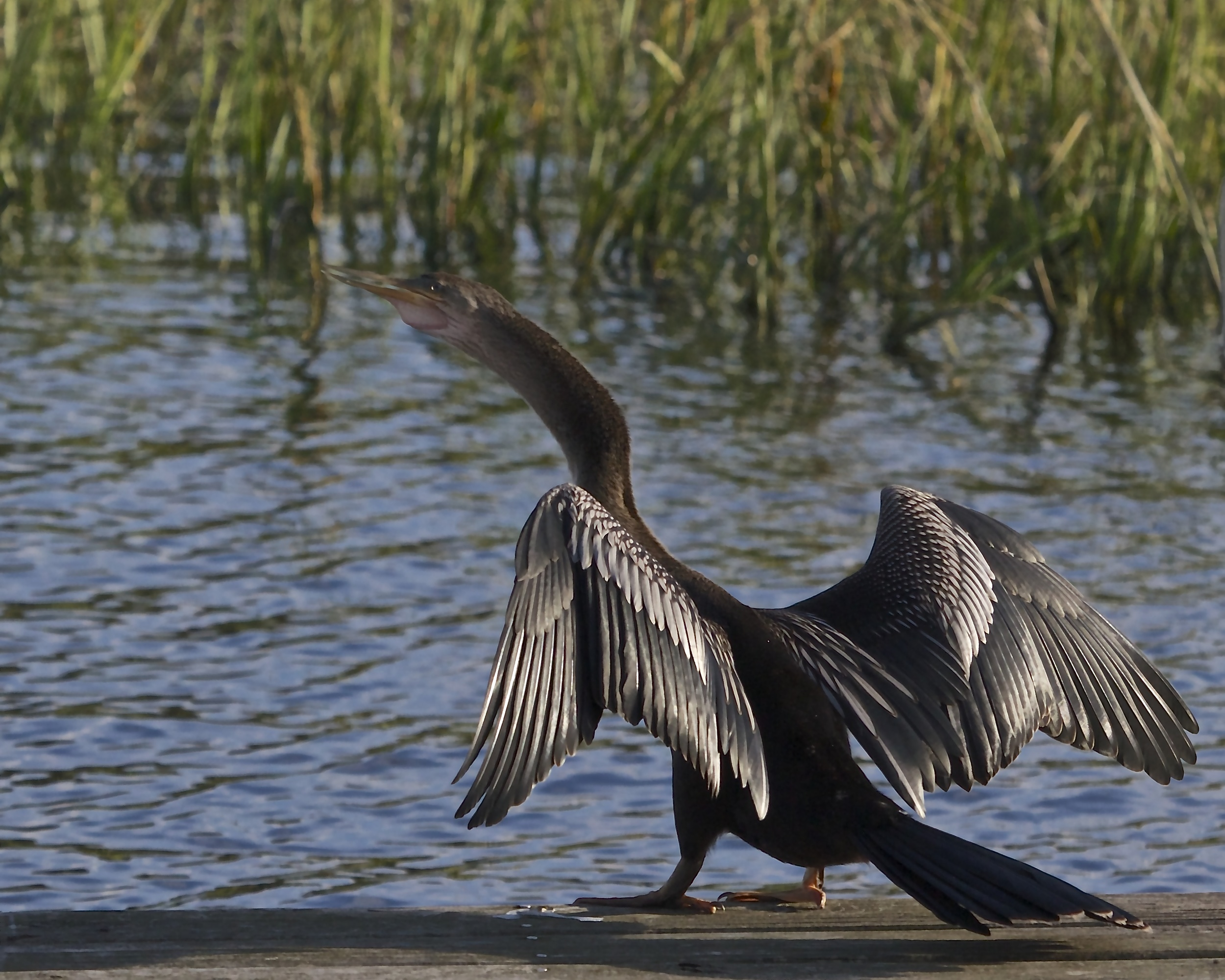 Can't fly, might as well get some sun! Annie the Anhinga dries out on the dock.