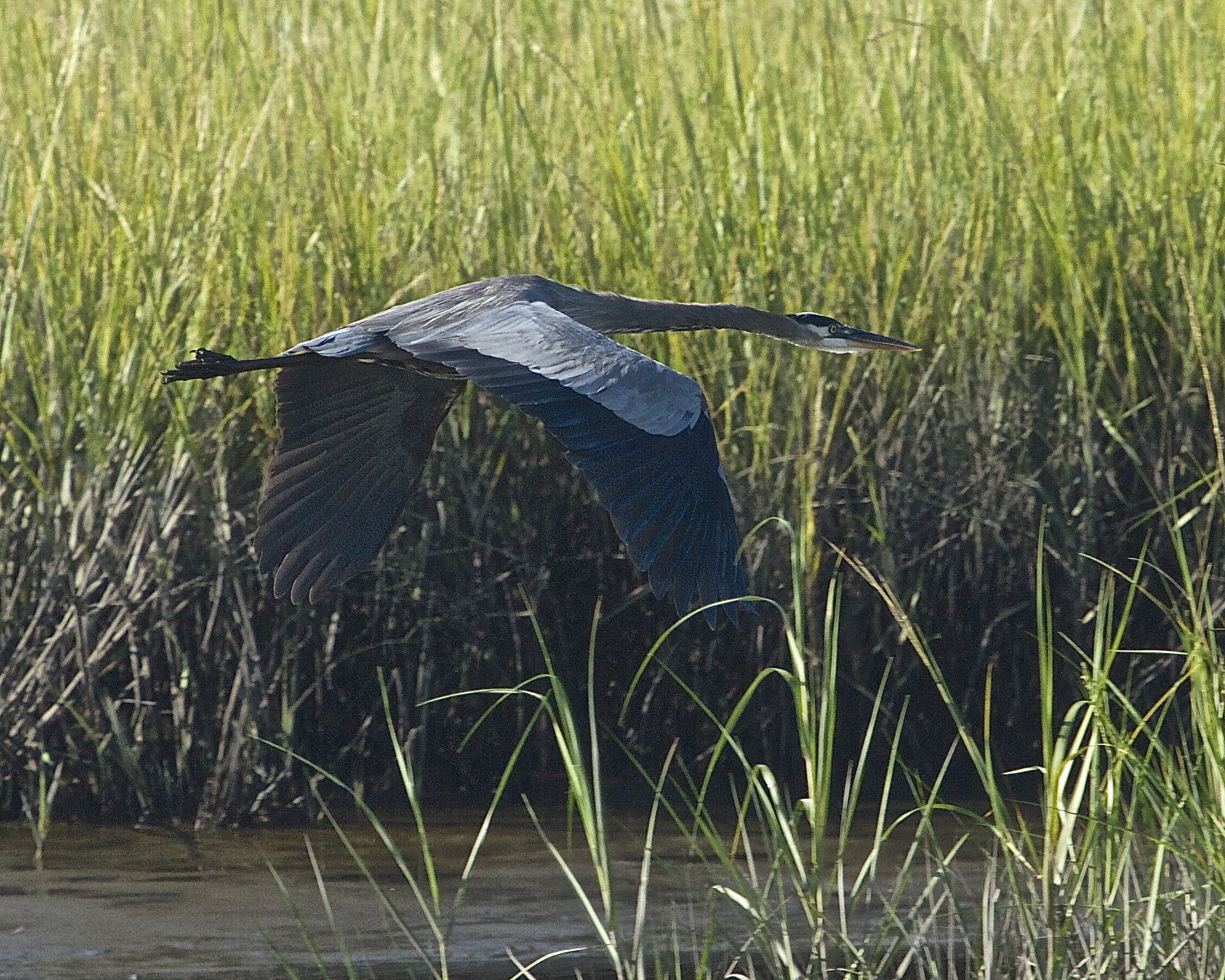 Old Man River, the Great Blue Heron is very camera shy still. As soon as I arrive he raises those wings and leaves.