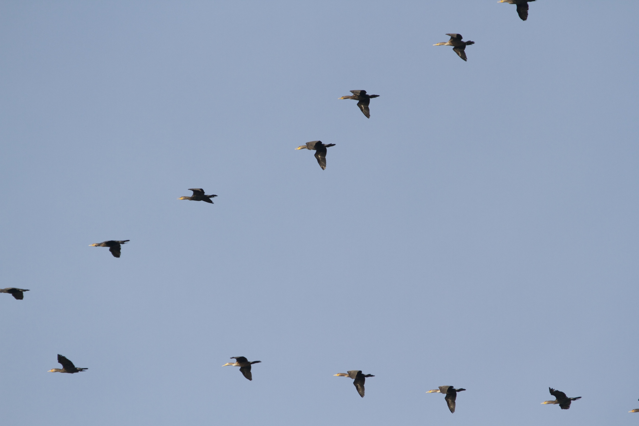 A V-shaped wedge of cormorants fly over the Broward.
