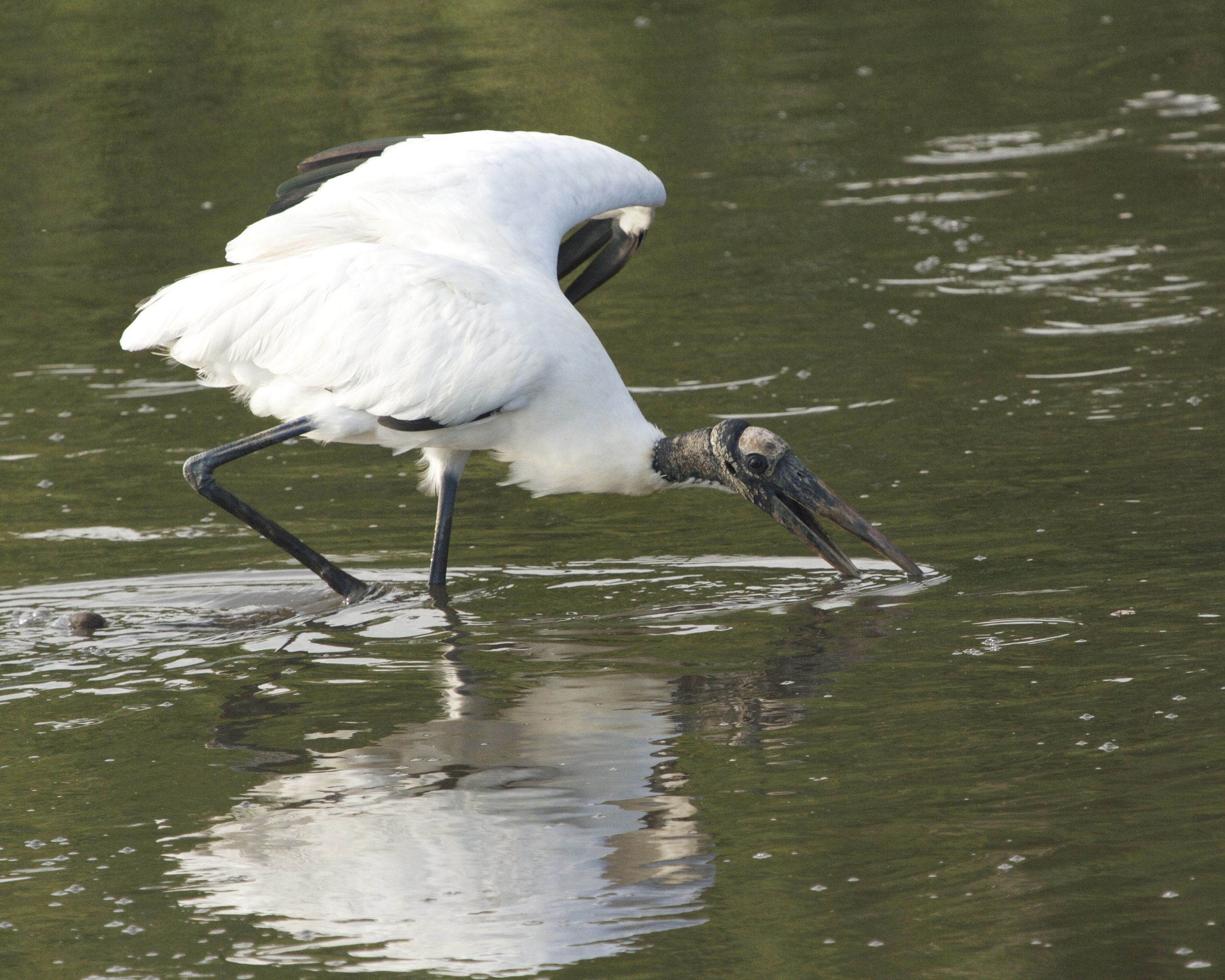 The Wood Stork uses its wing to help see and scare fish into its waiting beak.