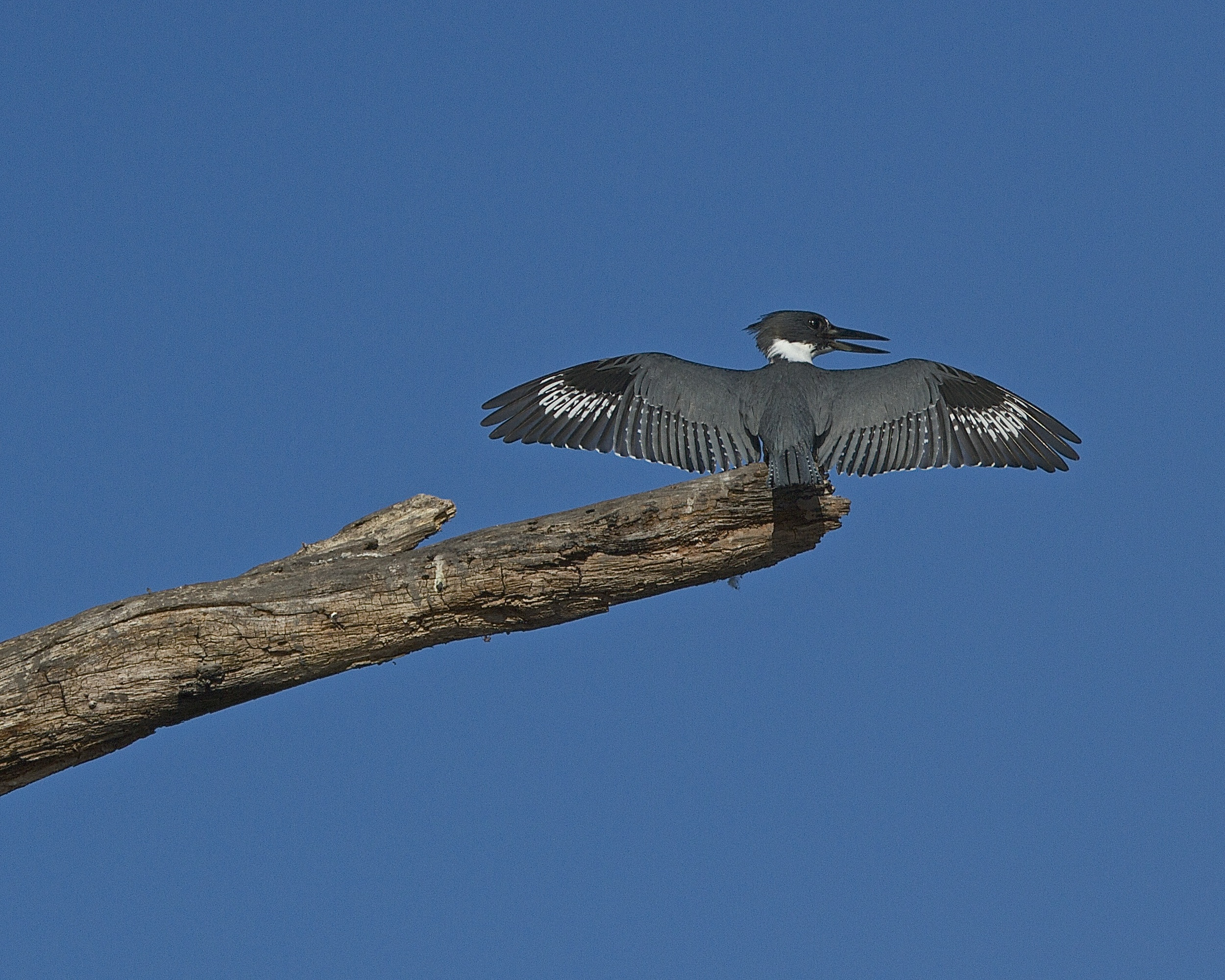 The Belted Kingfisher claims is territory and challenges the other males.