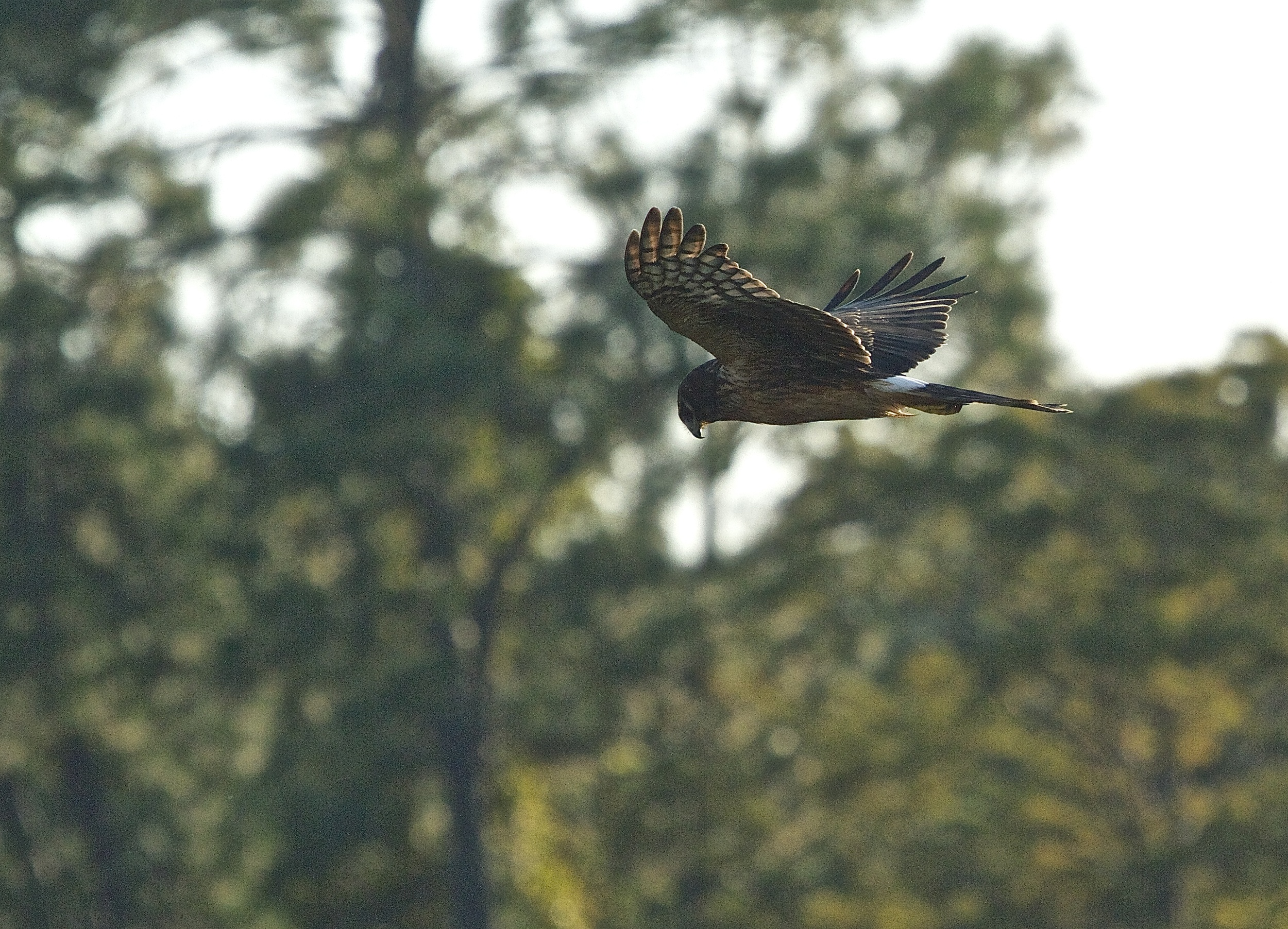 A Northern Harrier flies over the marsh looking for prey.