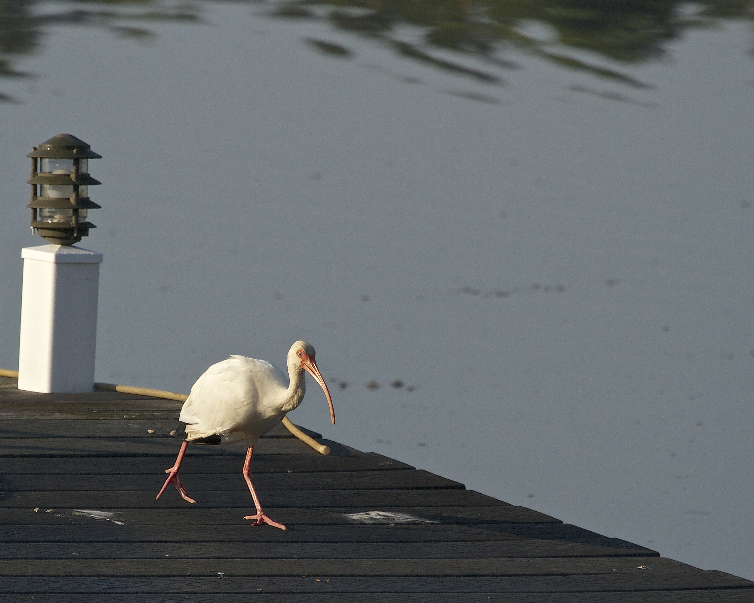 As I lock back I see a White Ibis walk up the pier.