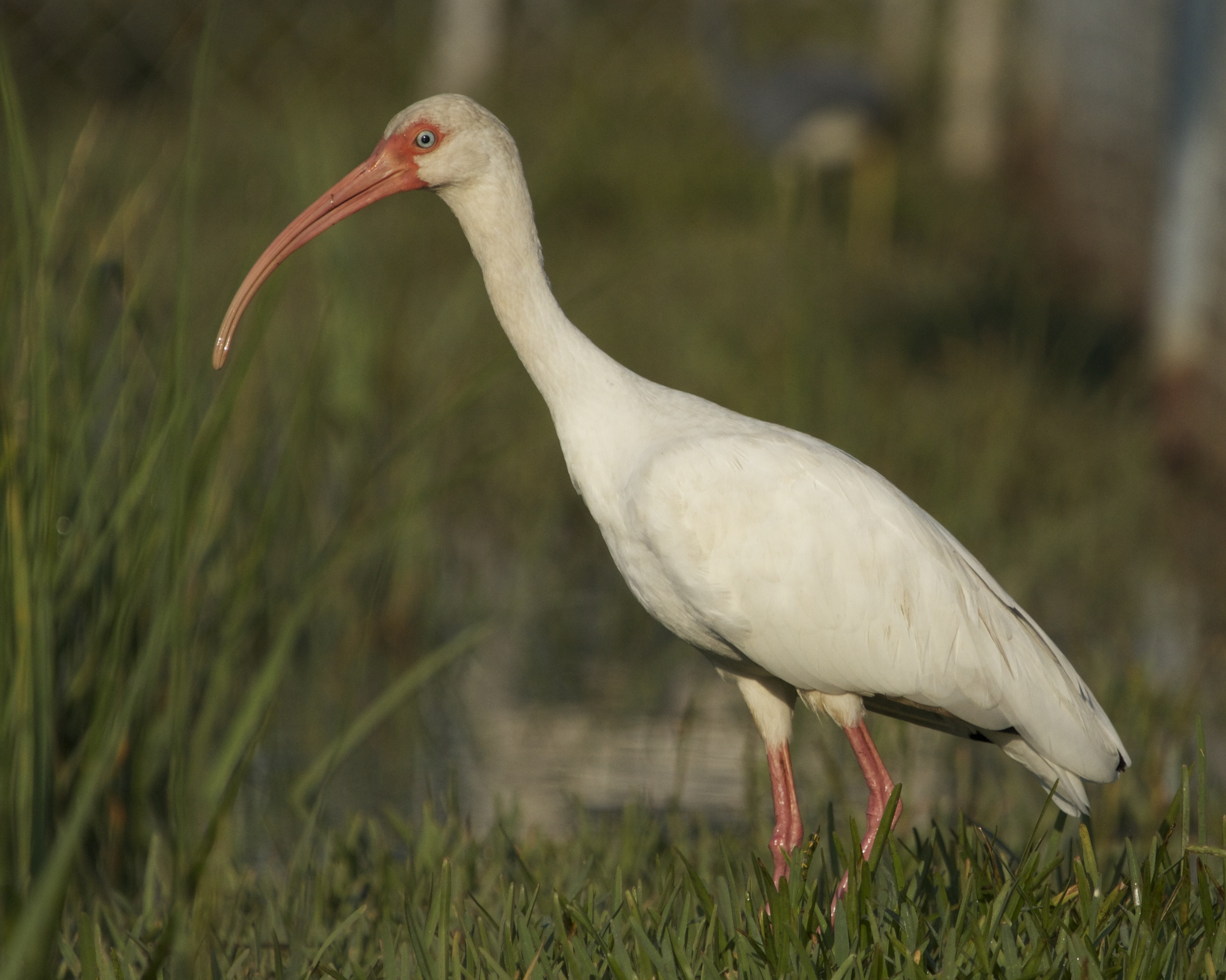 The Ibis looks at me and decides I am no threat.
