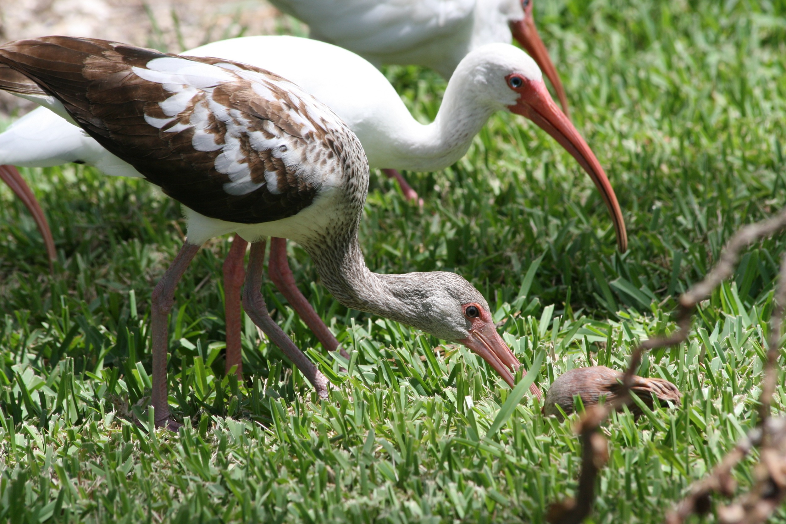 Juvenile white ibis with mottled brown feathers. Photoe by Donna Yost Williams. Florida Keys