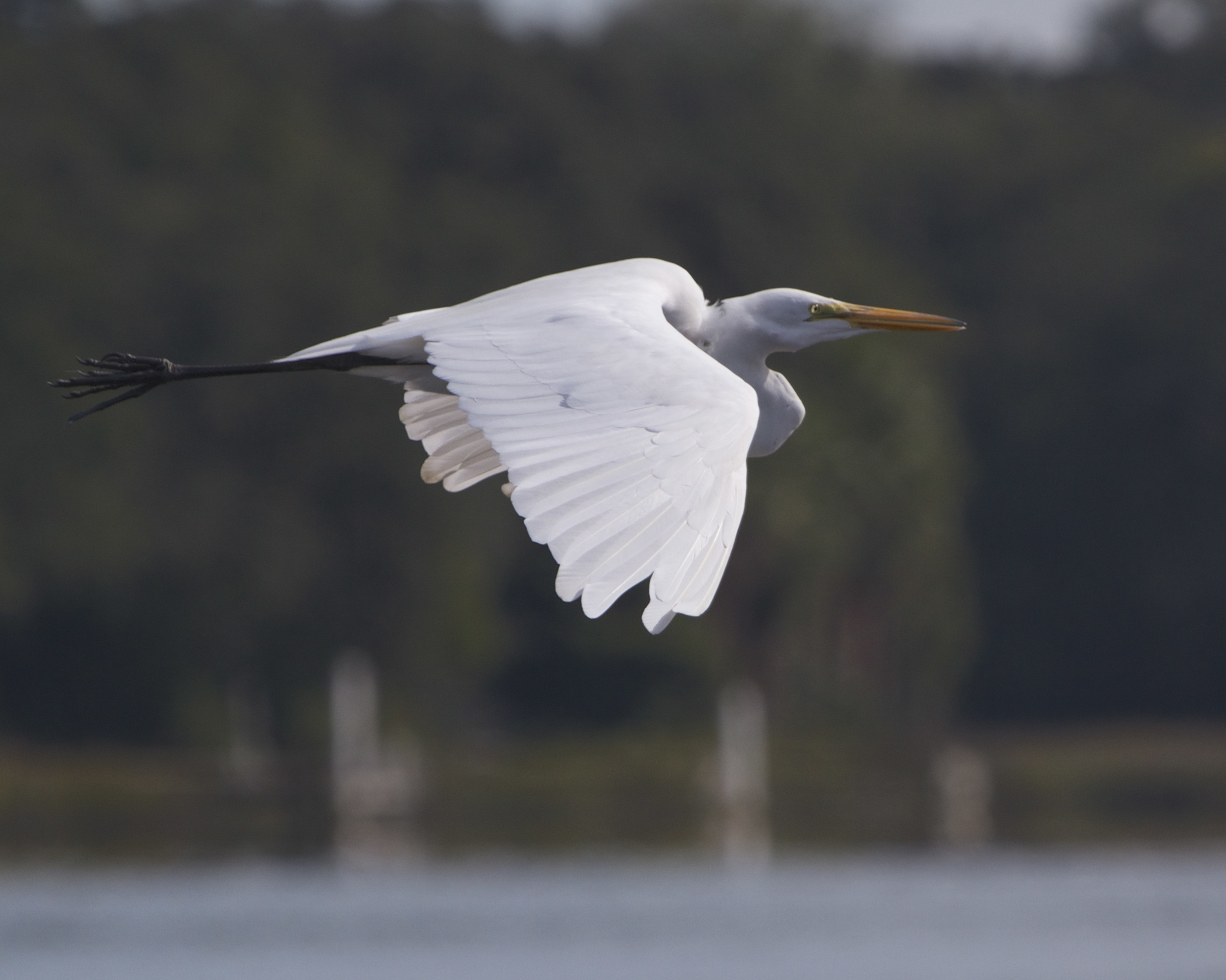 Great Egret fly by. I could almost touch it.