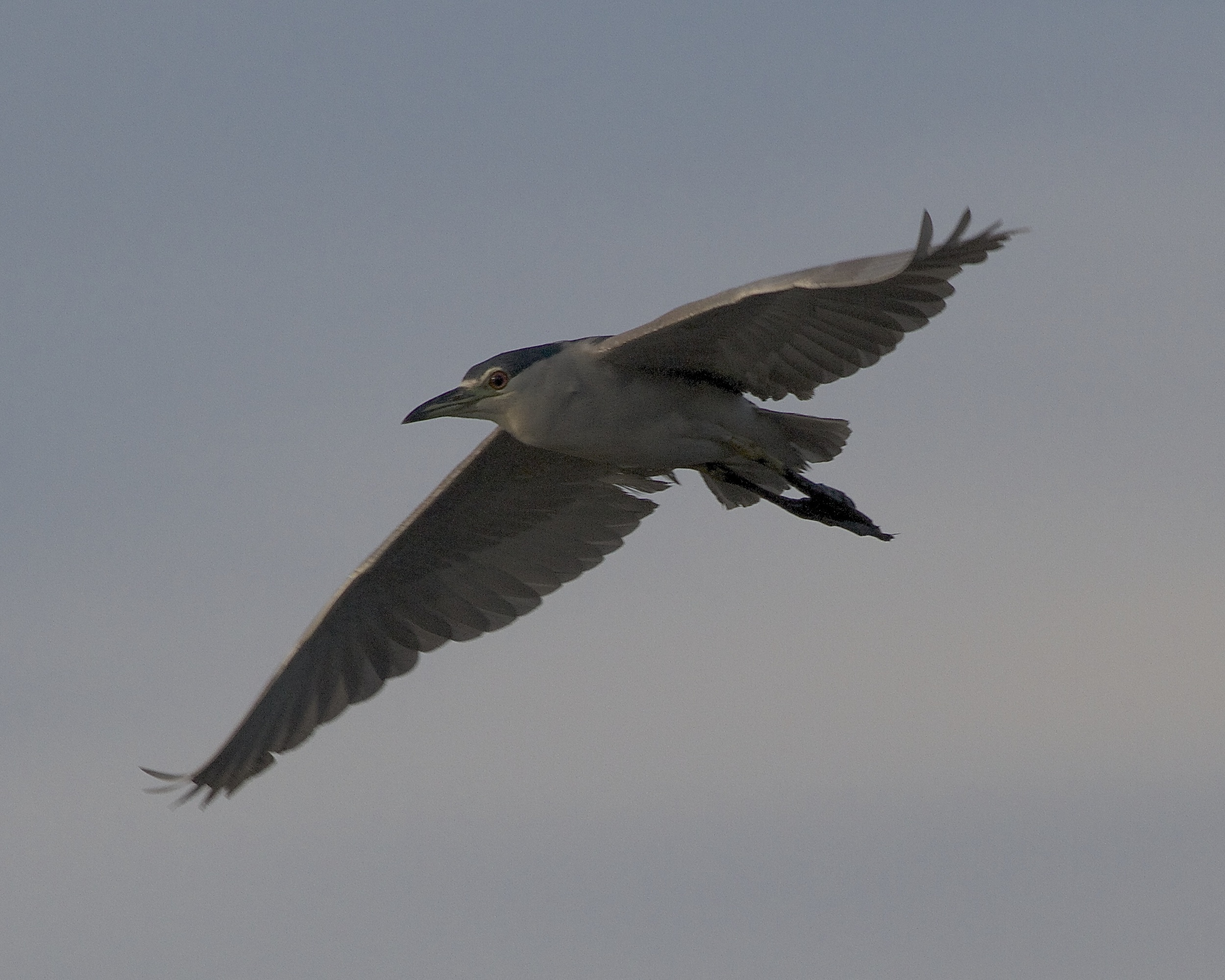 Black Crowned Night Heron flyover in the dark early morning sky.