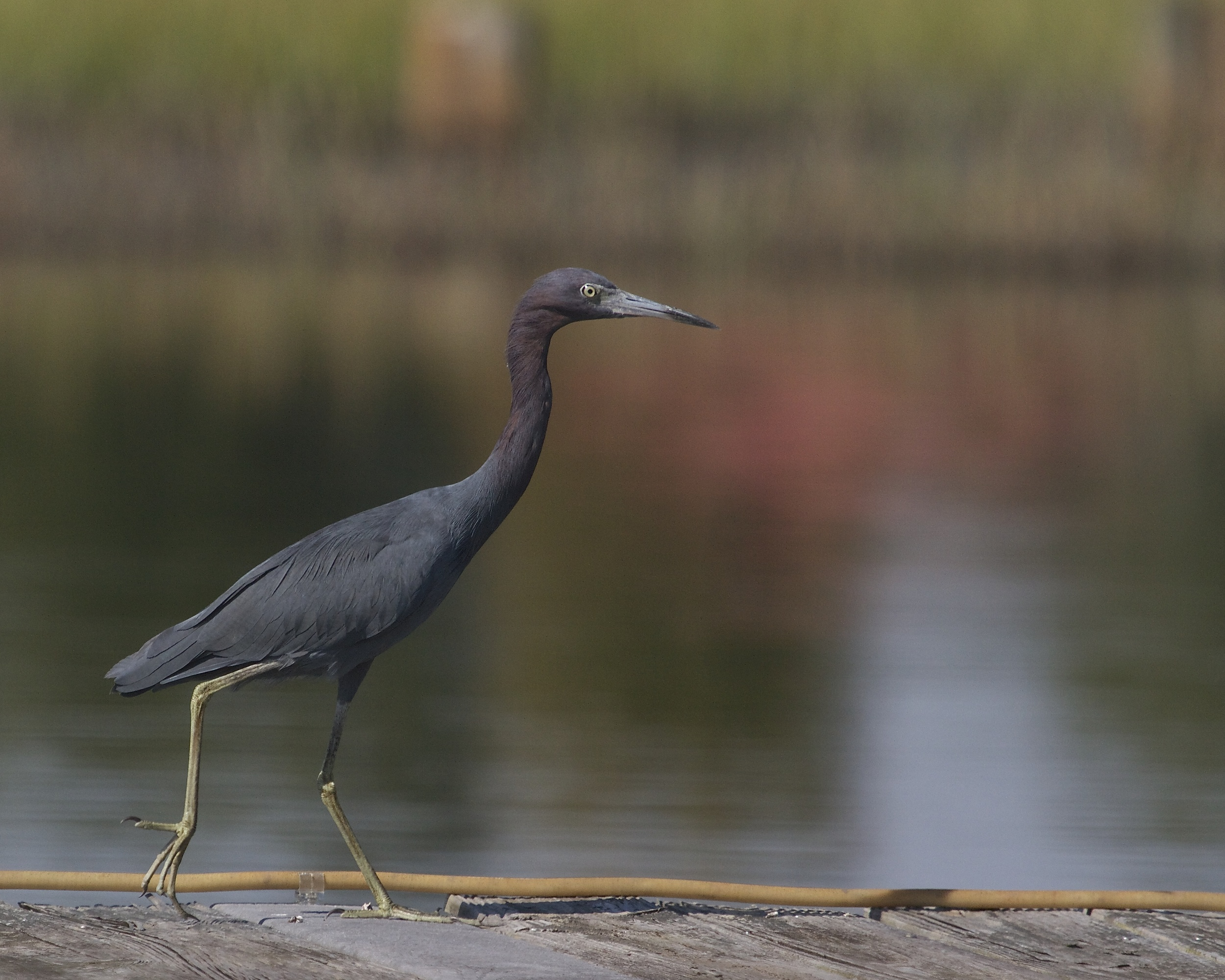 Little Blue Heron greets me on dock as I return.