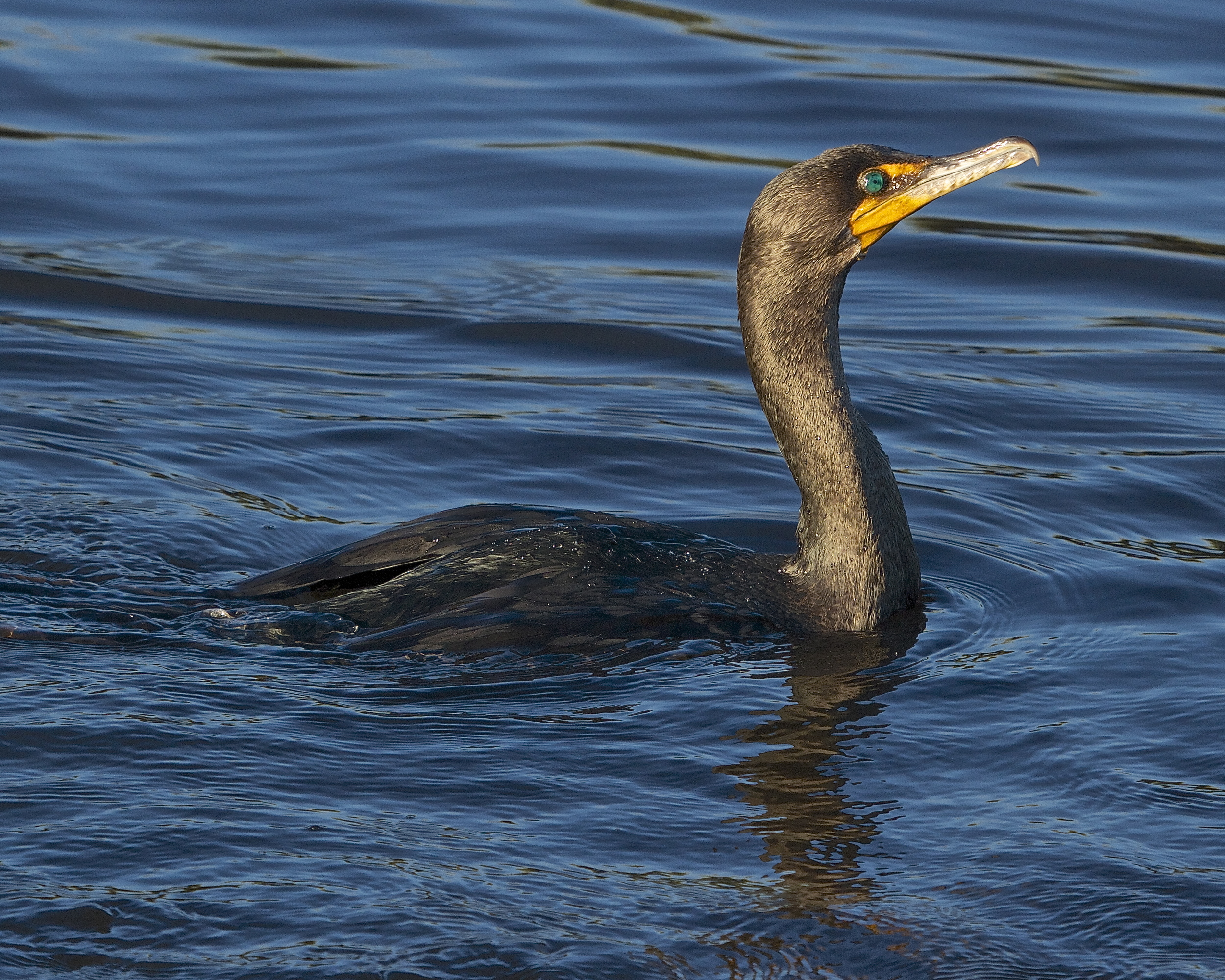 A Cormorant pauses after a swim.    Note the almost fur like feathering.