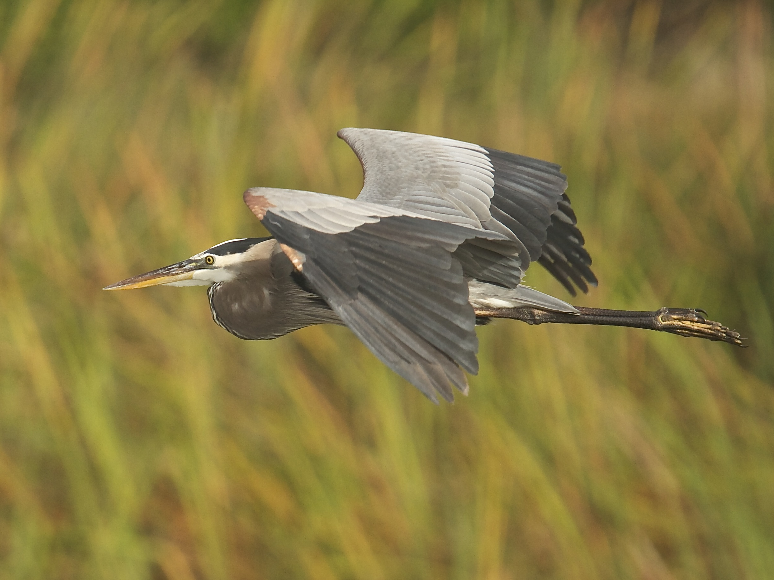 As the sun peeks thru I catch a Great Blue Heron in flight.