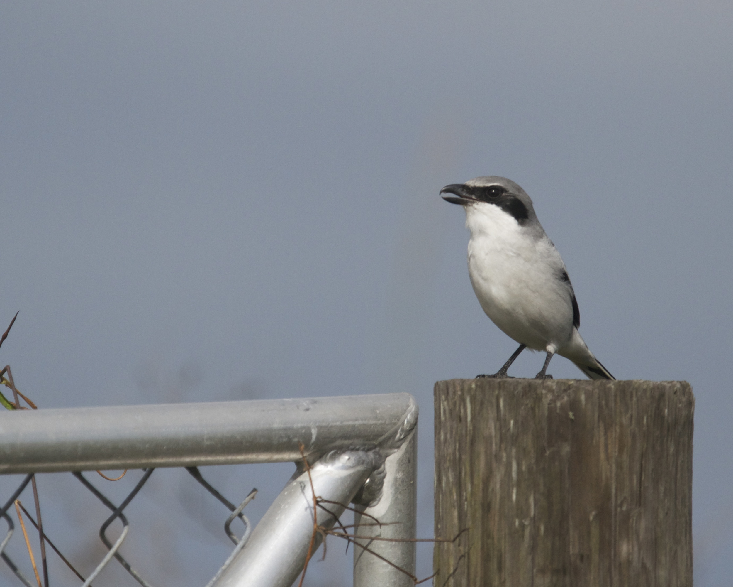Loggerhead Shrike protests our presence.