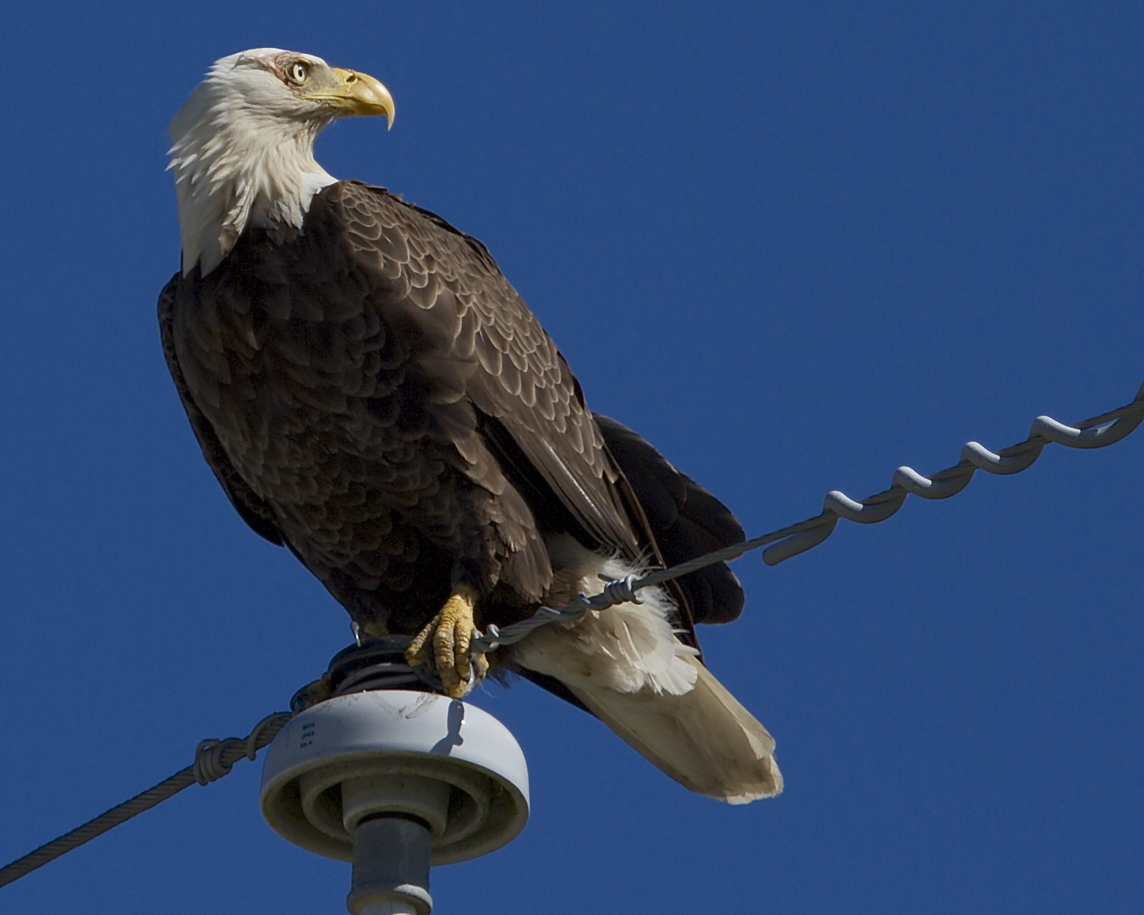 Sitting proudly atop the pole, the Eagle shows signs of a recent aerial battle around the eye and neck.