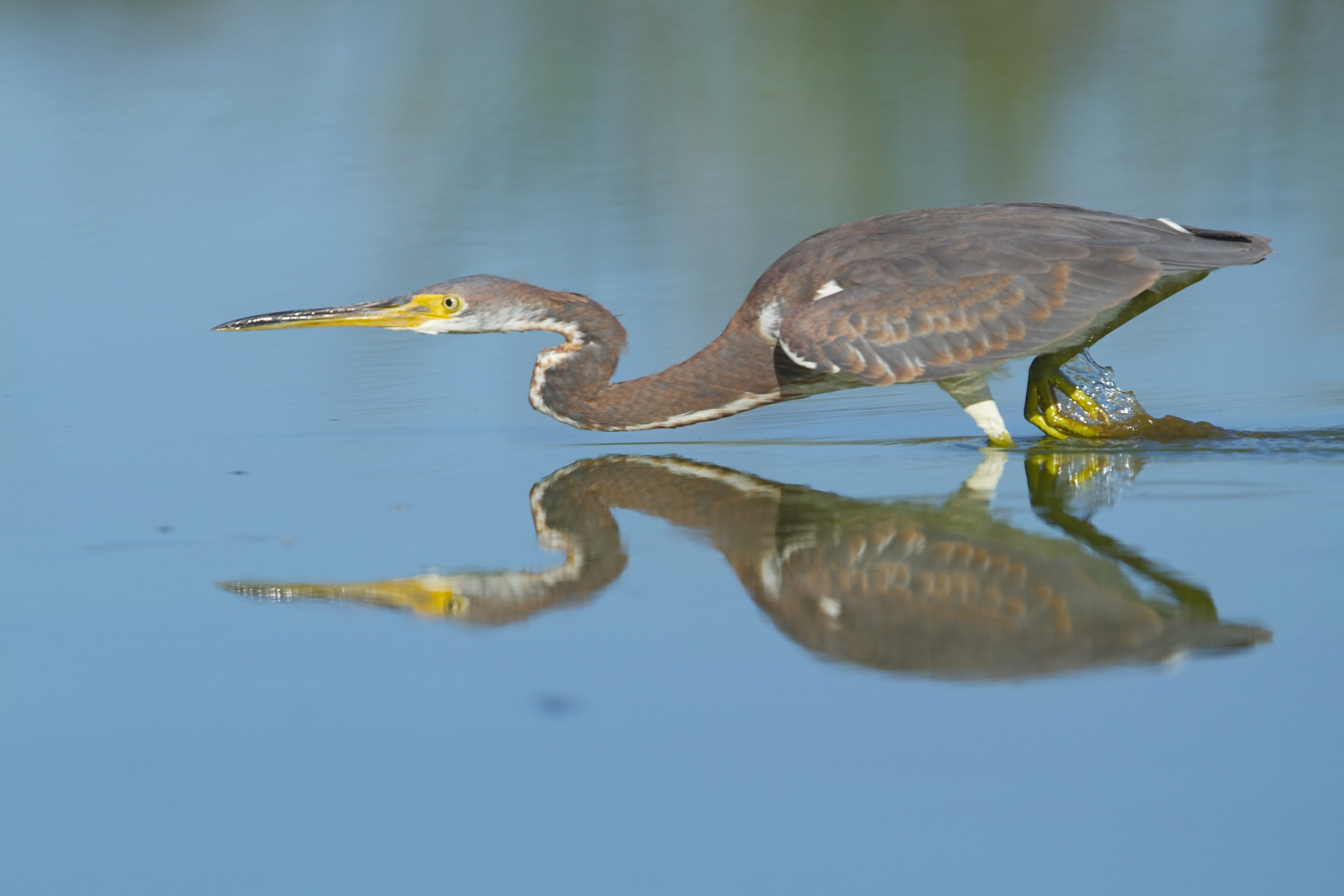 The mighty minnow hunter, a Tricolored Heron about to strike.