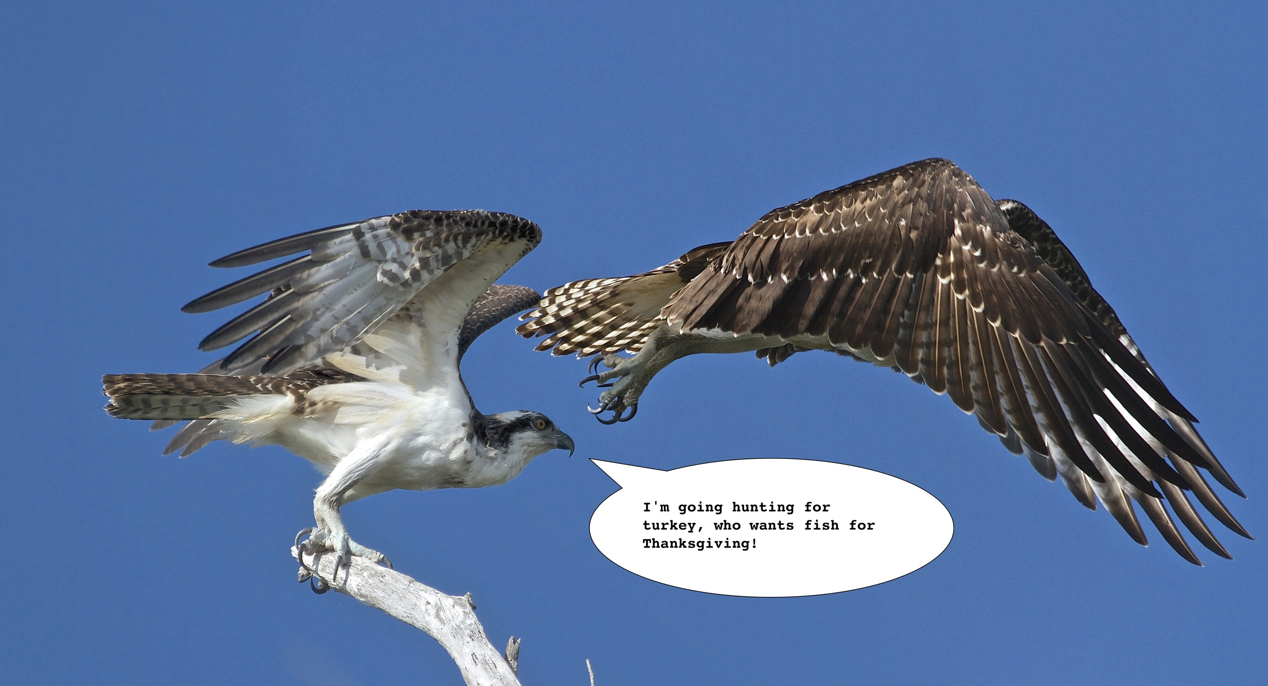 FISH SMISH...I WANT TURKEY, (time series Osprey launch).