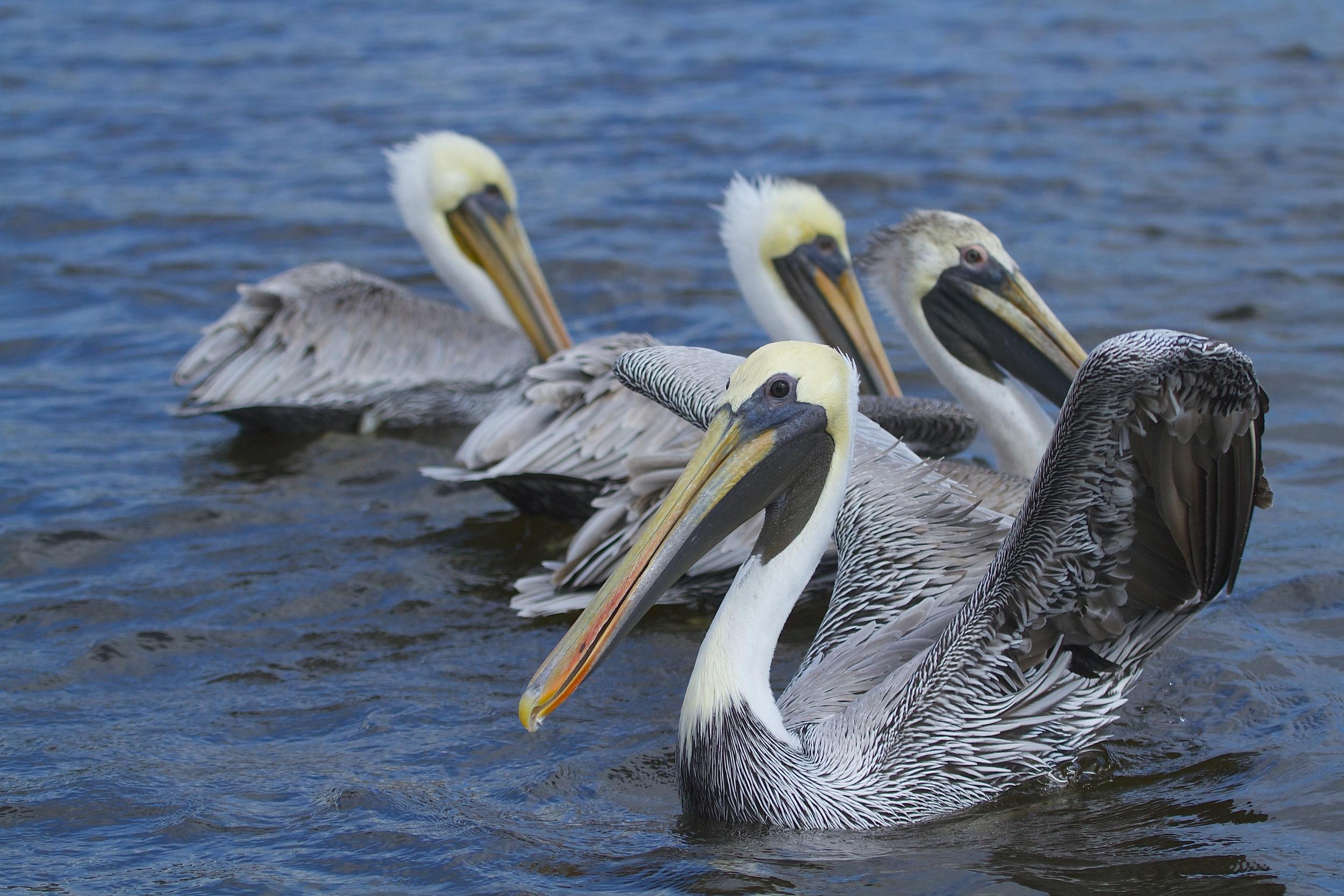 Eager beaks await some spare bait fish.