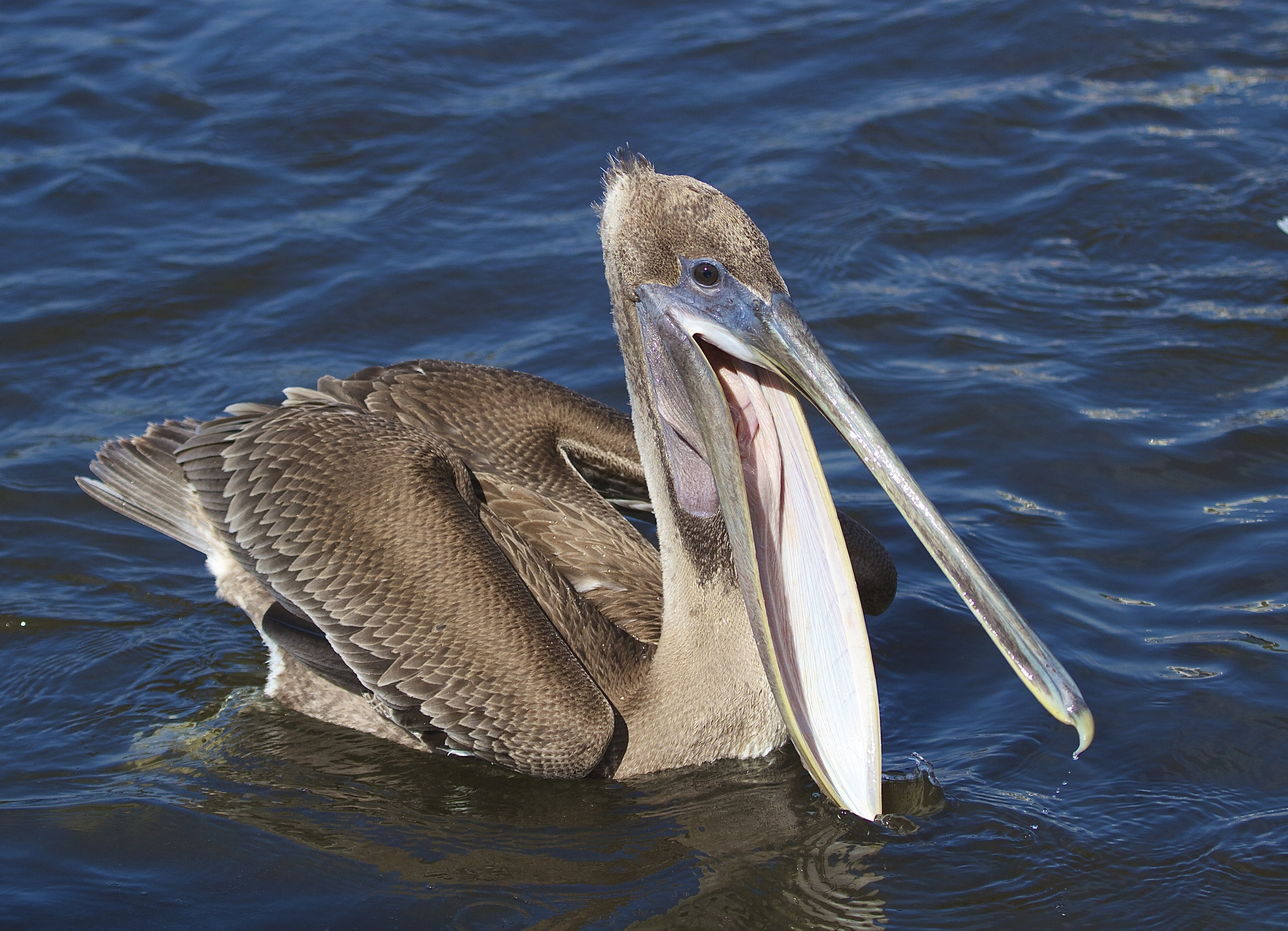 Say Ahhhh!..aw just gimme some fish! Juvenile Brown pelican.