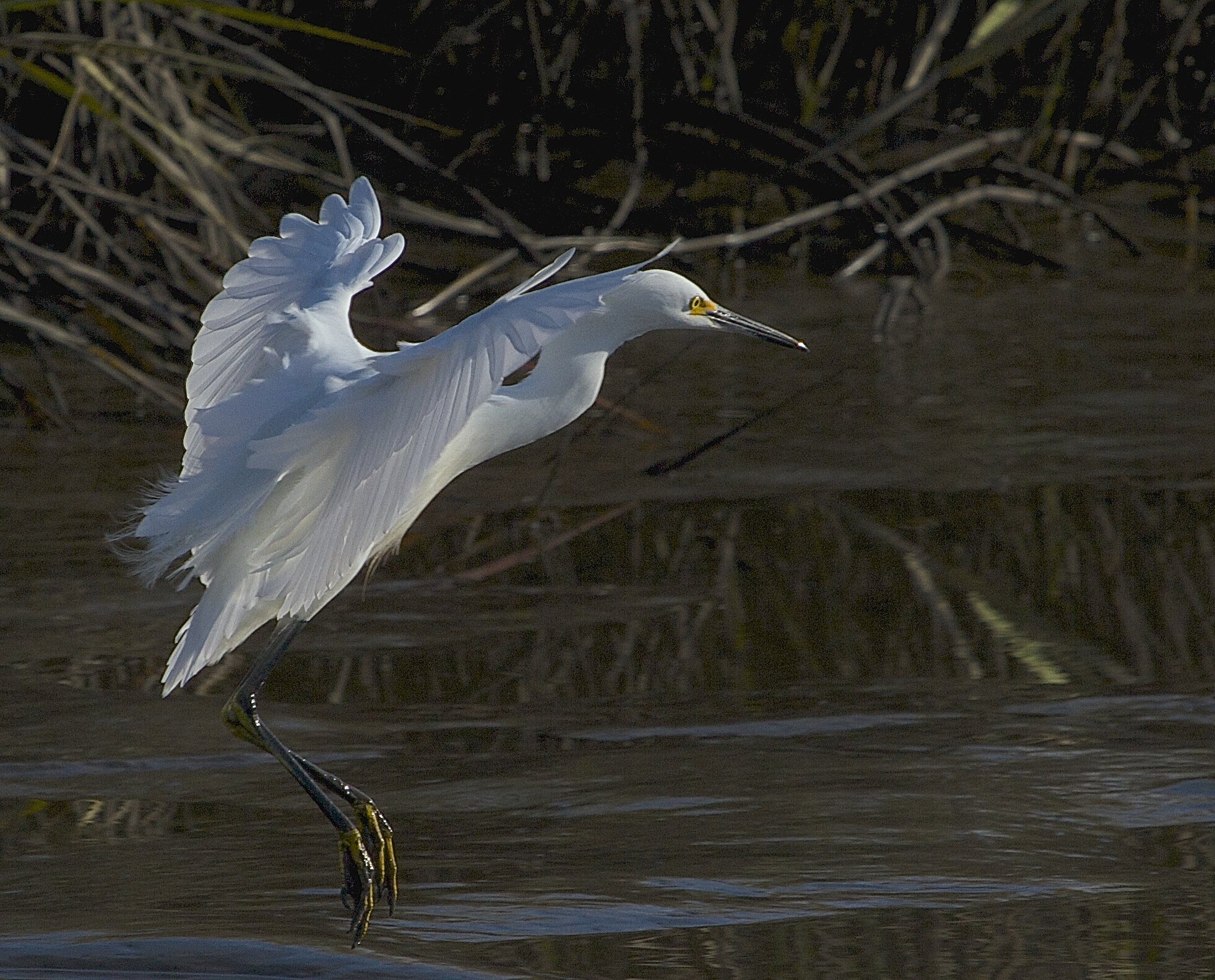 """The sun reflecting on a Snowy Egrets wings is the only """"snow"""" I see."""