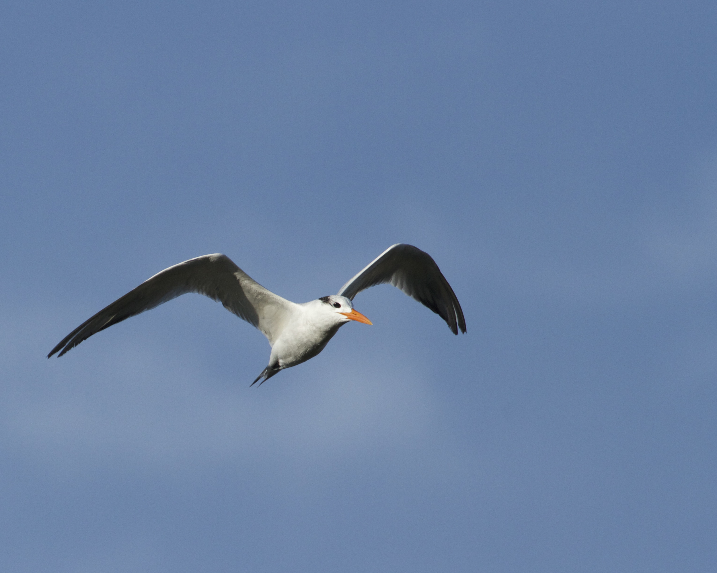 A royal tern hunts for breakfast on this fine winter morning on the Broward. See ya next week!