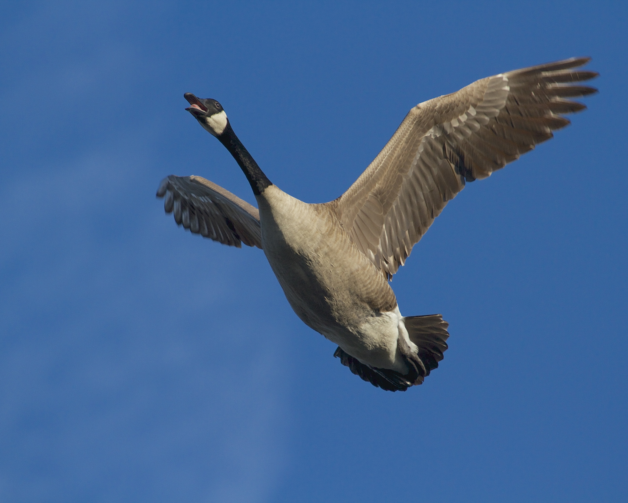 GOOSE!, tag, you're it! Canada Goose fly by.