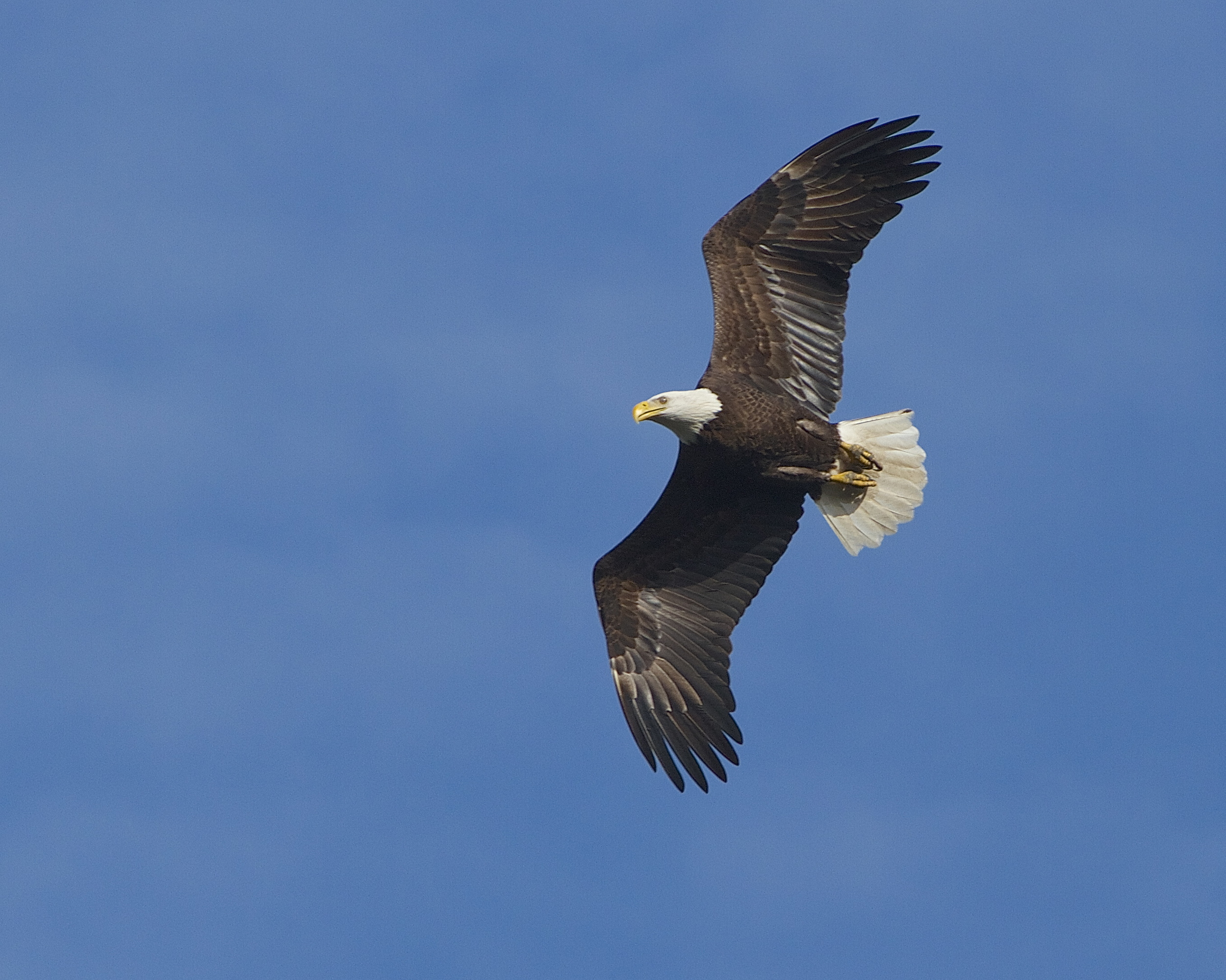 A Majestic Bald Eagle soars over the pond. Hmmm, those duck look delicious..