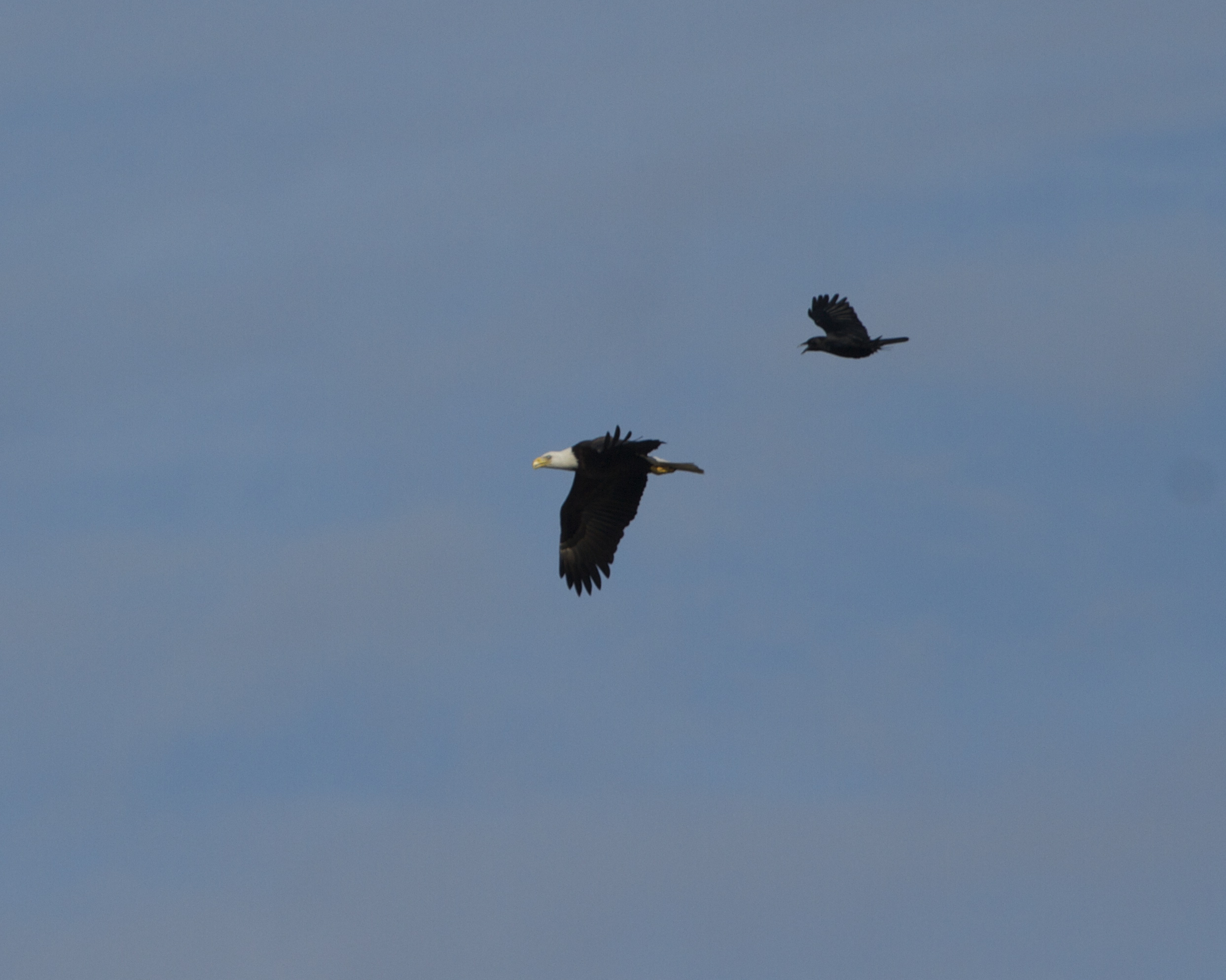 Geesh, you don't have to go away mad,,,just go away! Blackbirds pester the Eagle..