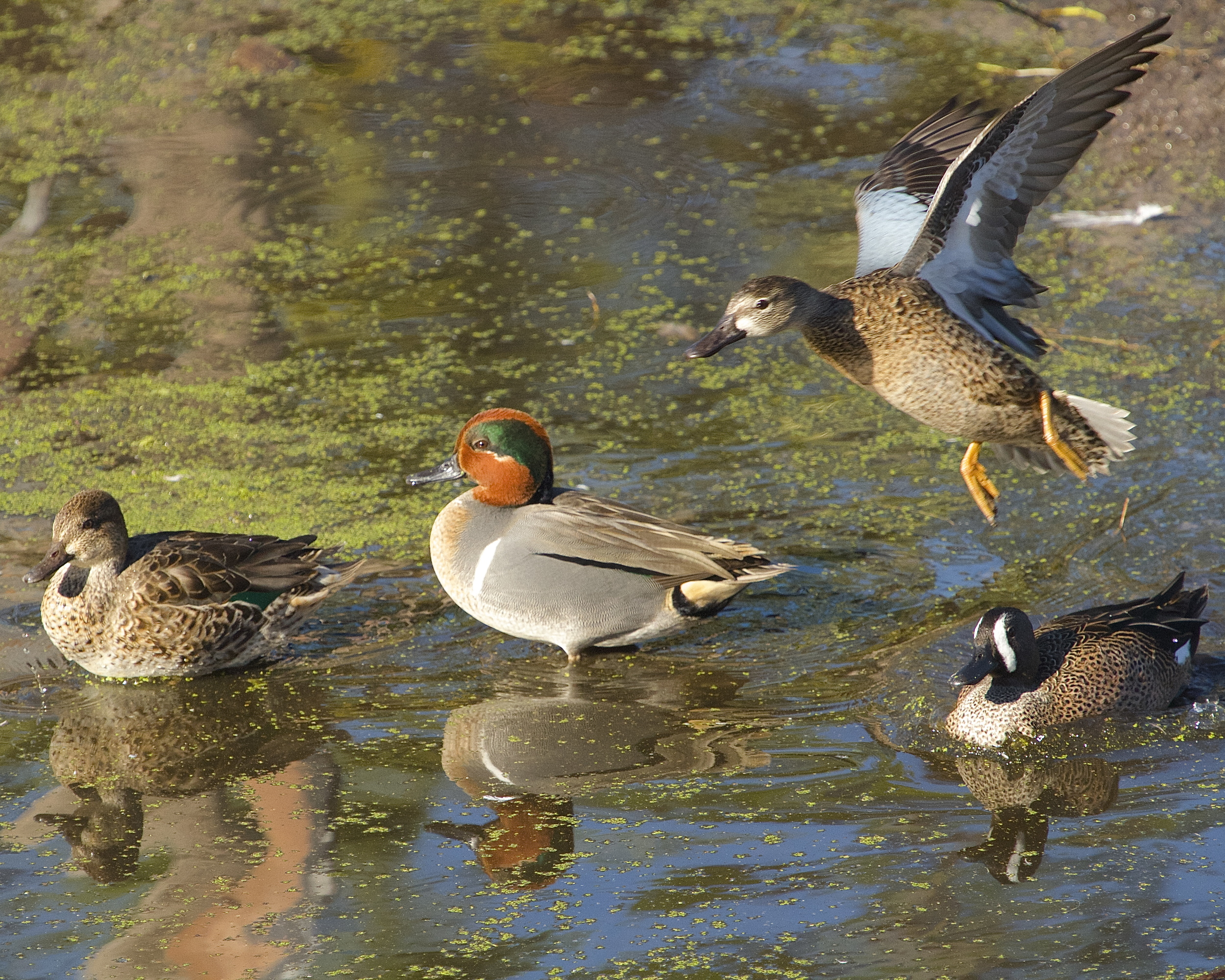 Ducks on the river. Green Wing Teal (two on the left) and Blue Wing Teal (on the right).