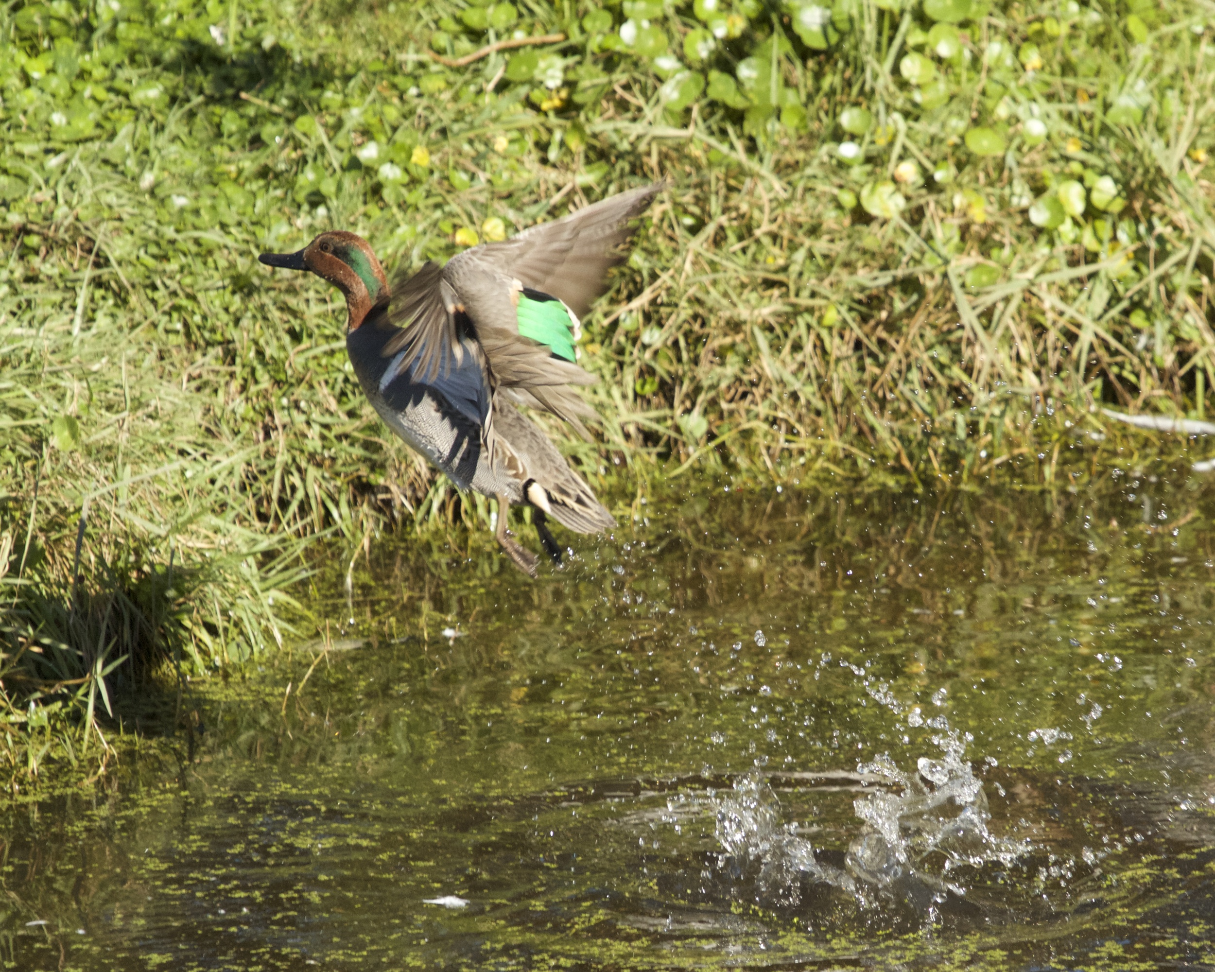 Green Wing Teal blast off!