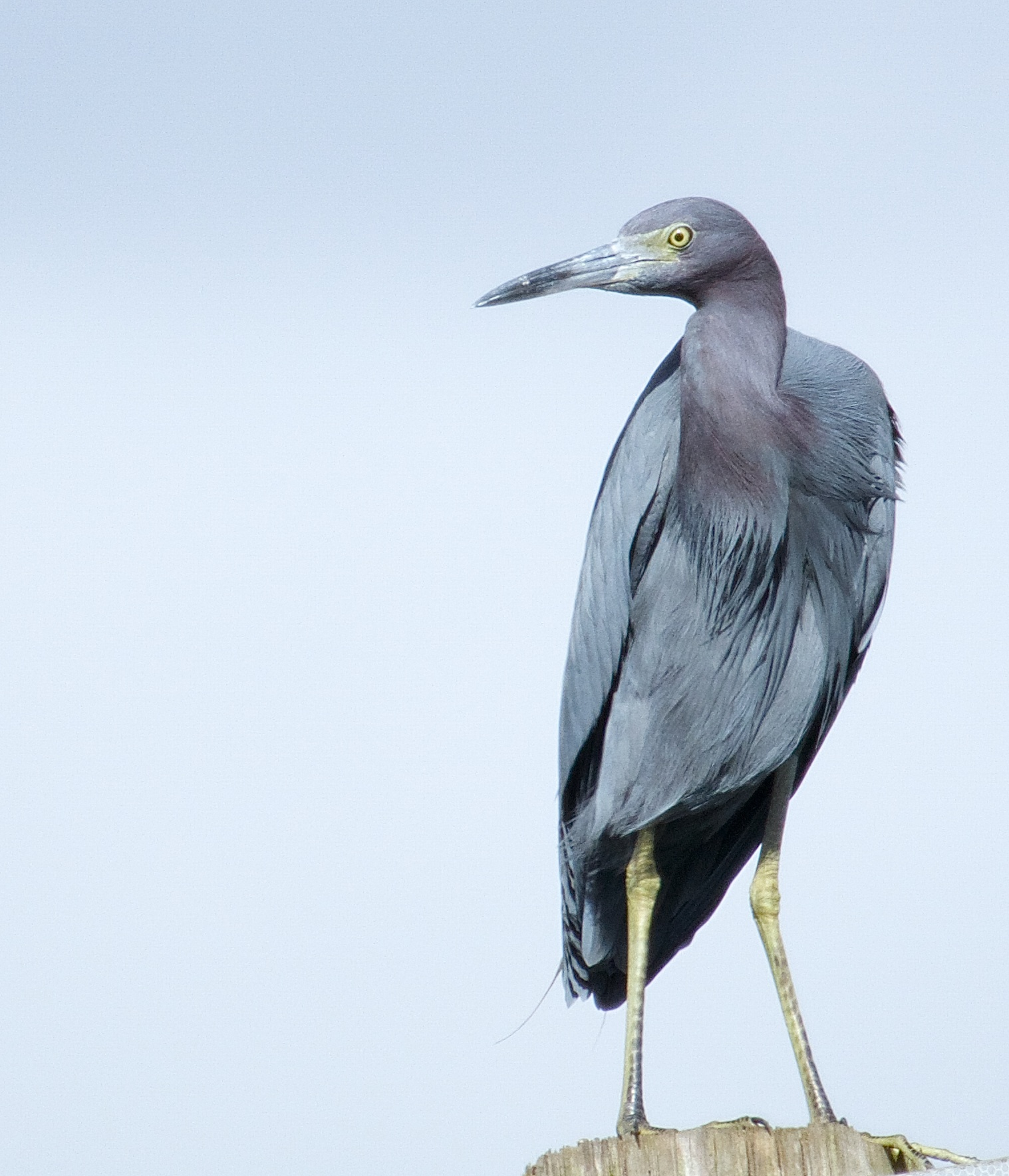 Little Blue Heron, the smallest of the Blue Herons. White when born.