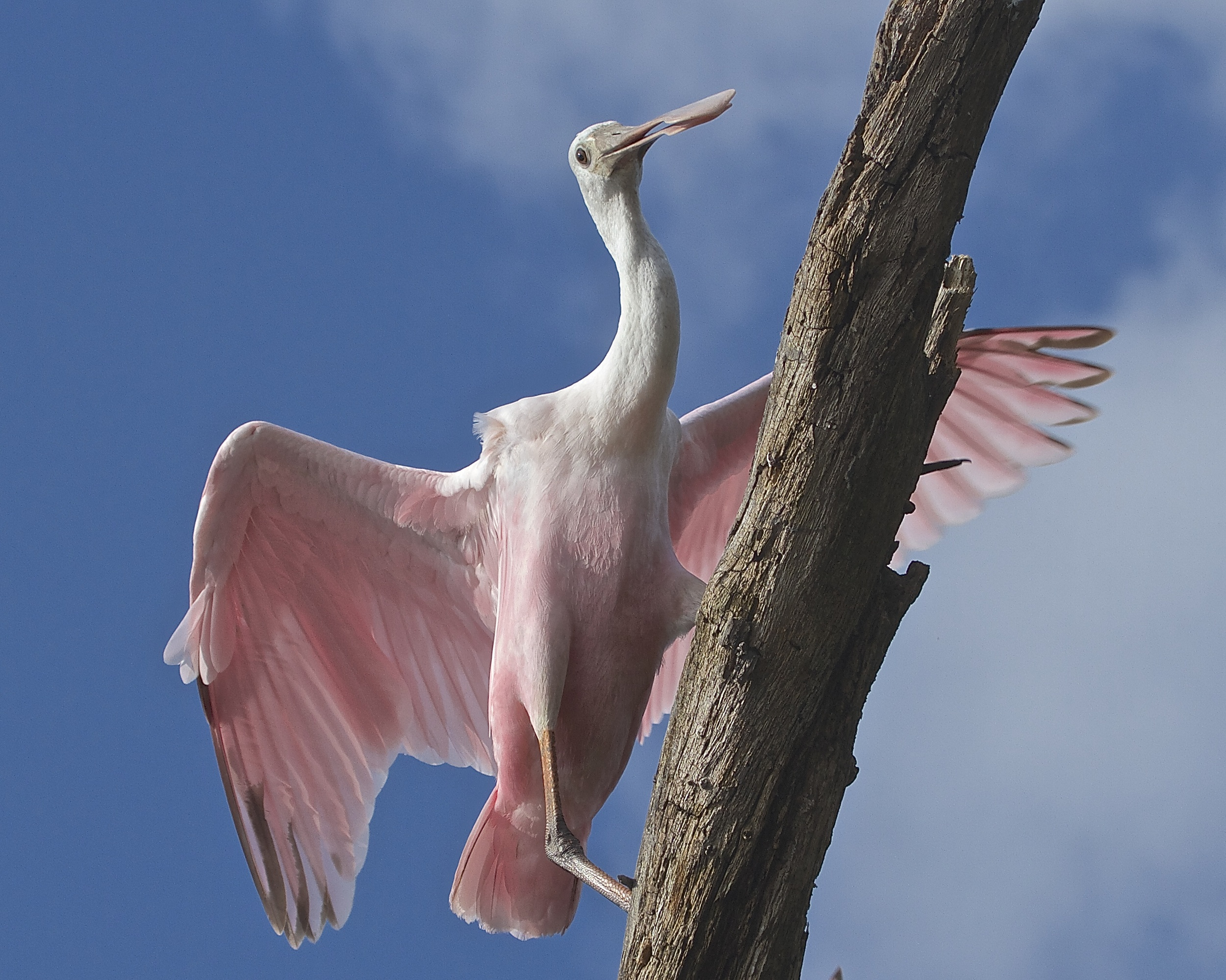 Roseate Spoonbill viewed from a Kayak.