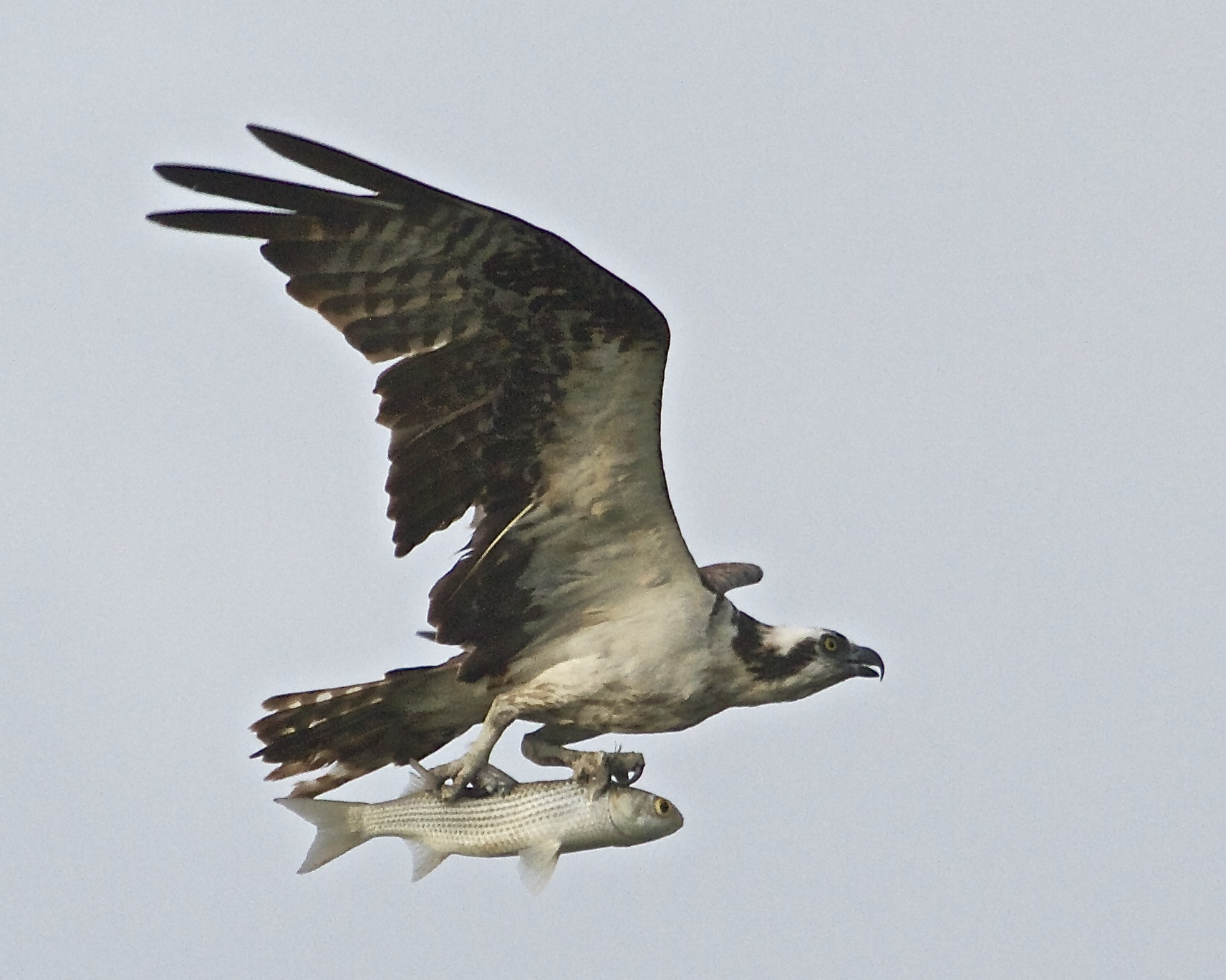 Osprey with large mullet catch