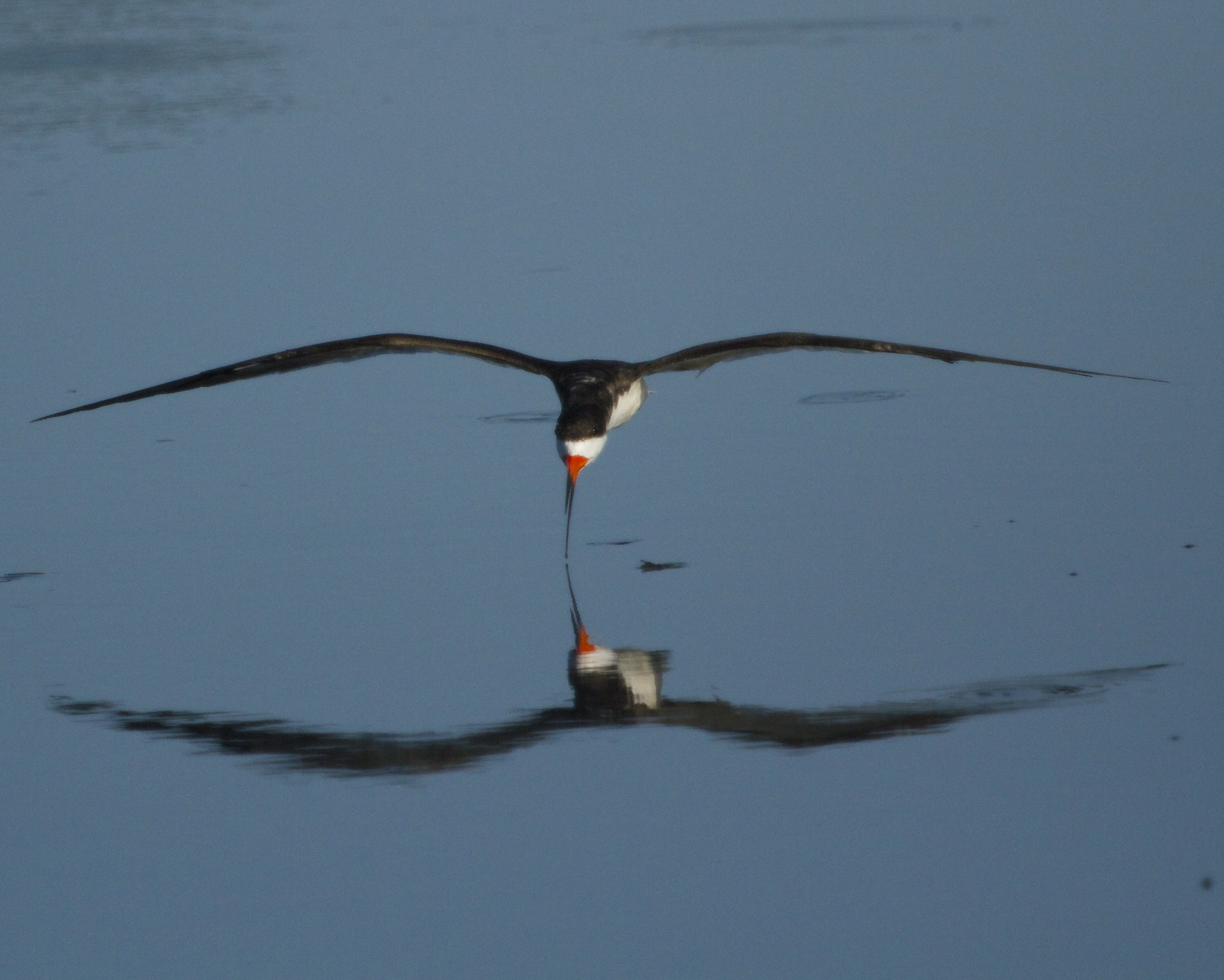 Black Skimmer reflection