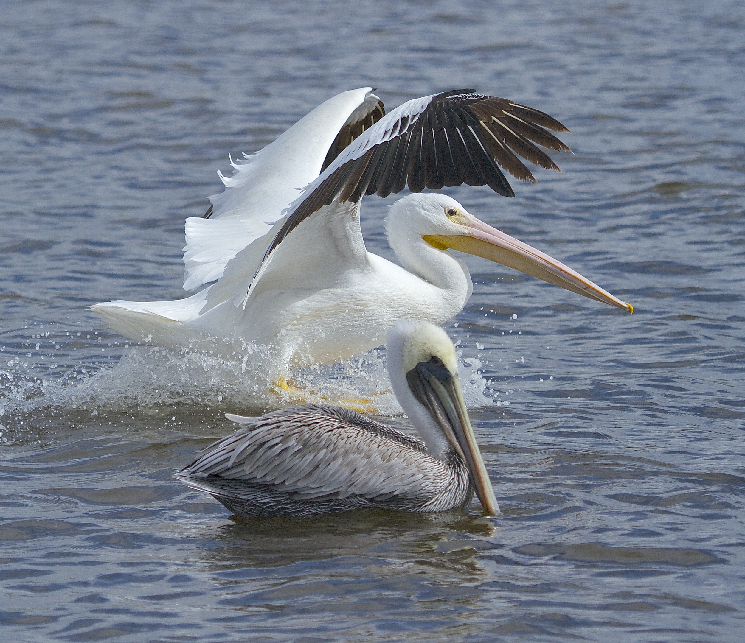White Pelican (top) and Brown Pelican on the Broward