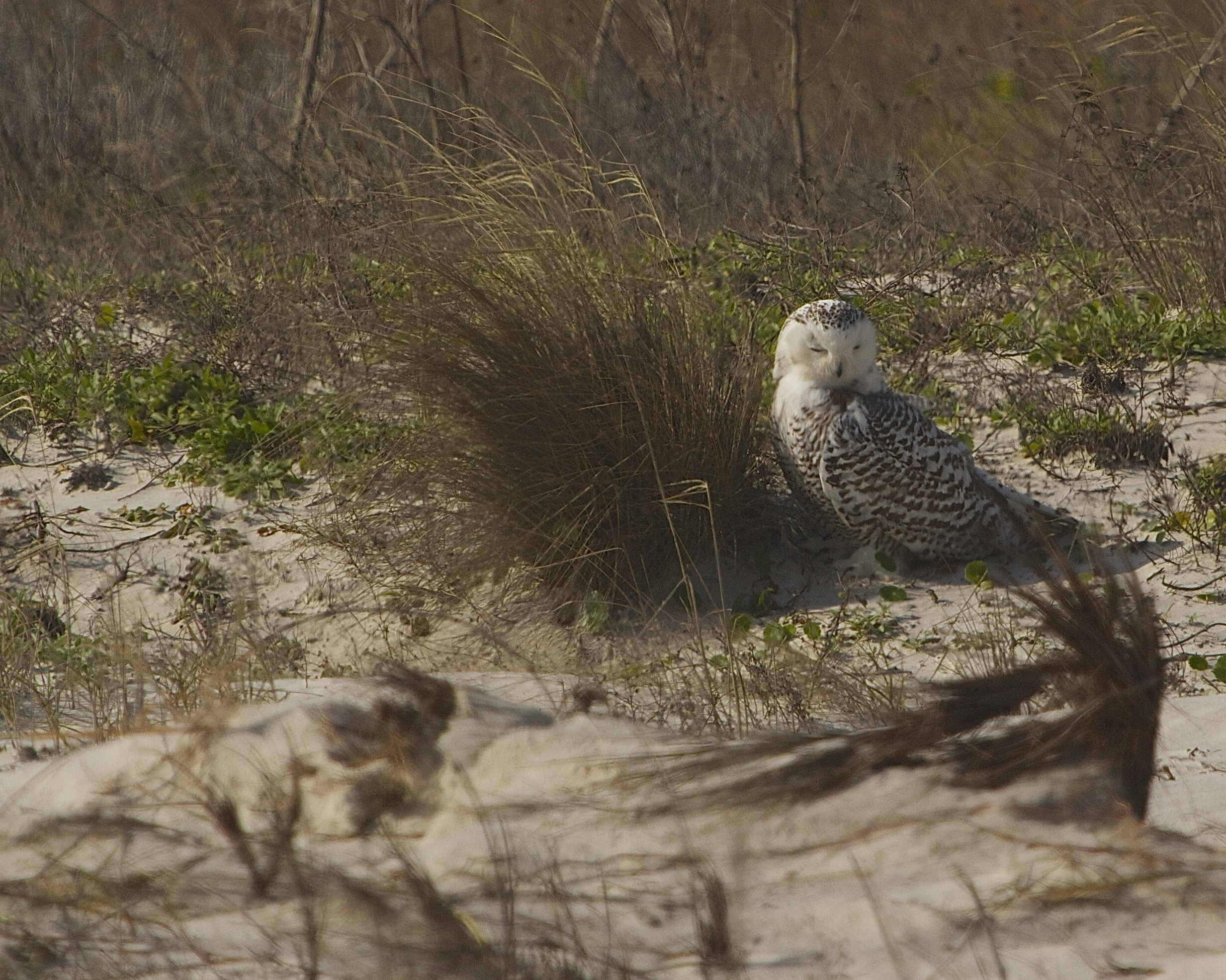 "A "" Stressed""  Snowy Owl sits on the dune..for two hours.."