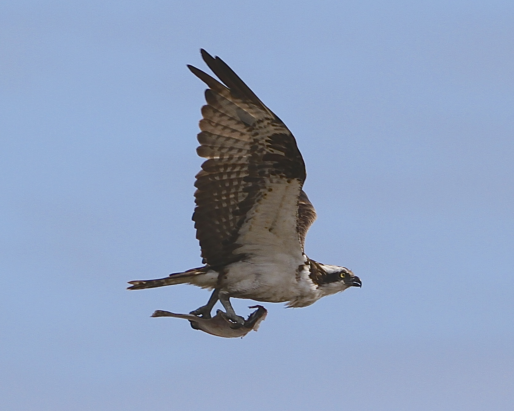 A Stressed Osprey just says I'll fly away!