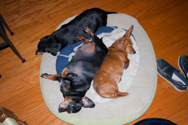 "Three ""stressed"" wiener dogs by the fire..have an attitude of gratitude today!"
