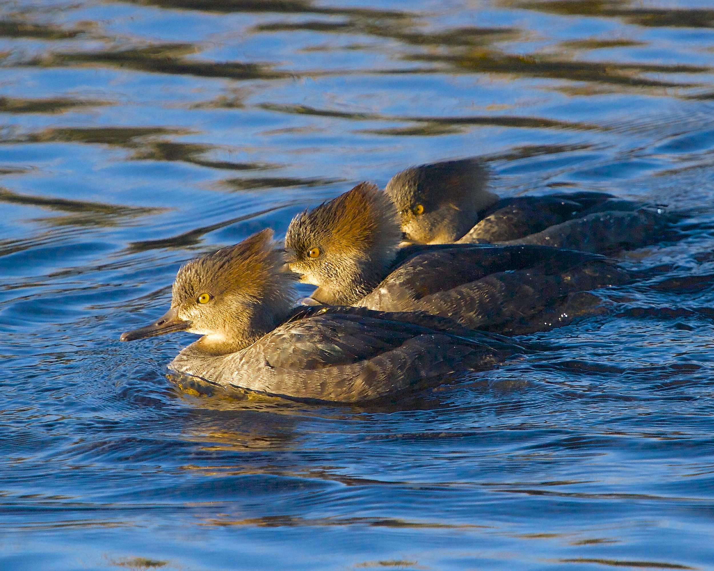 A raft of female Hooded Mergansers drift by in formation.