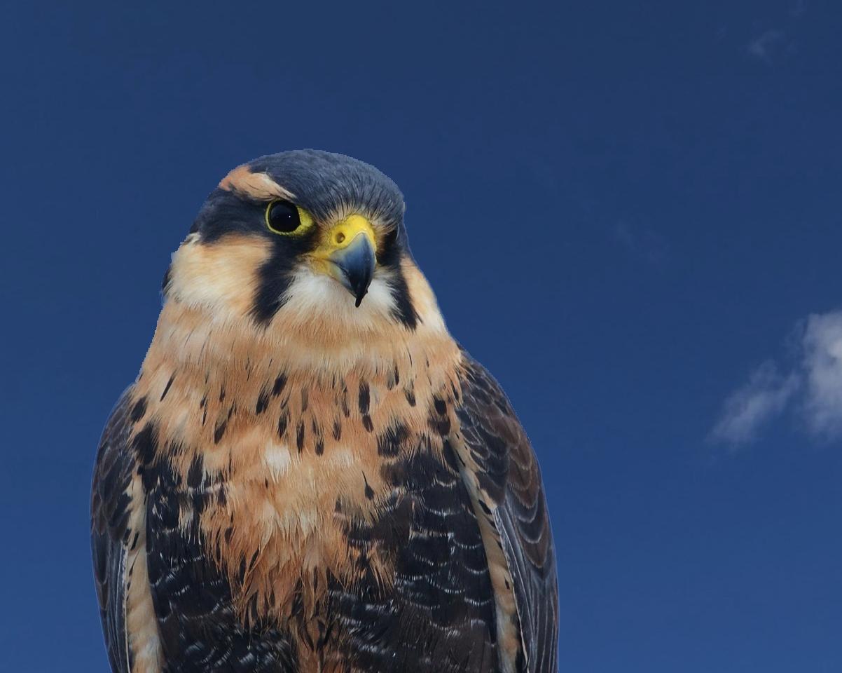 Rare Alpomado Falcon.