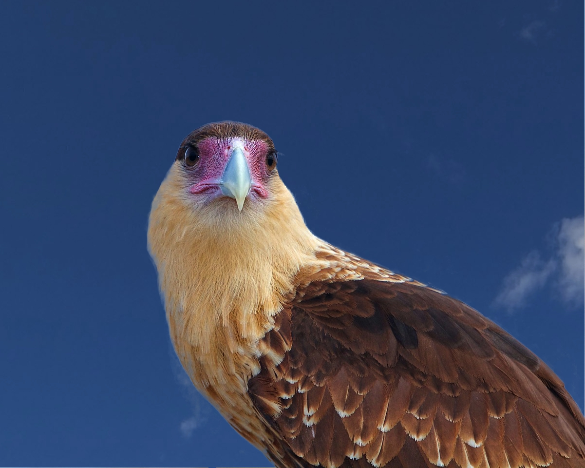 Crested Caracara, the national bird of Mexico.