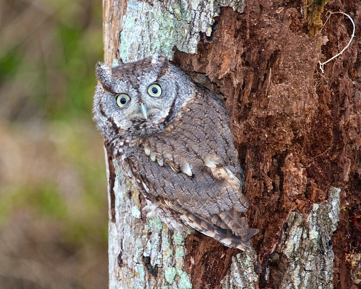 Eastern Skreech Owl. Perfect natural camouflage.