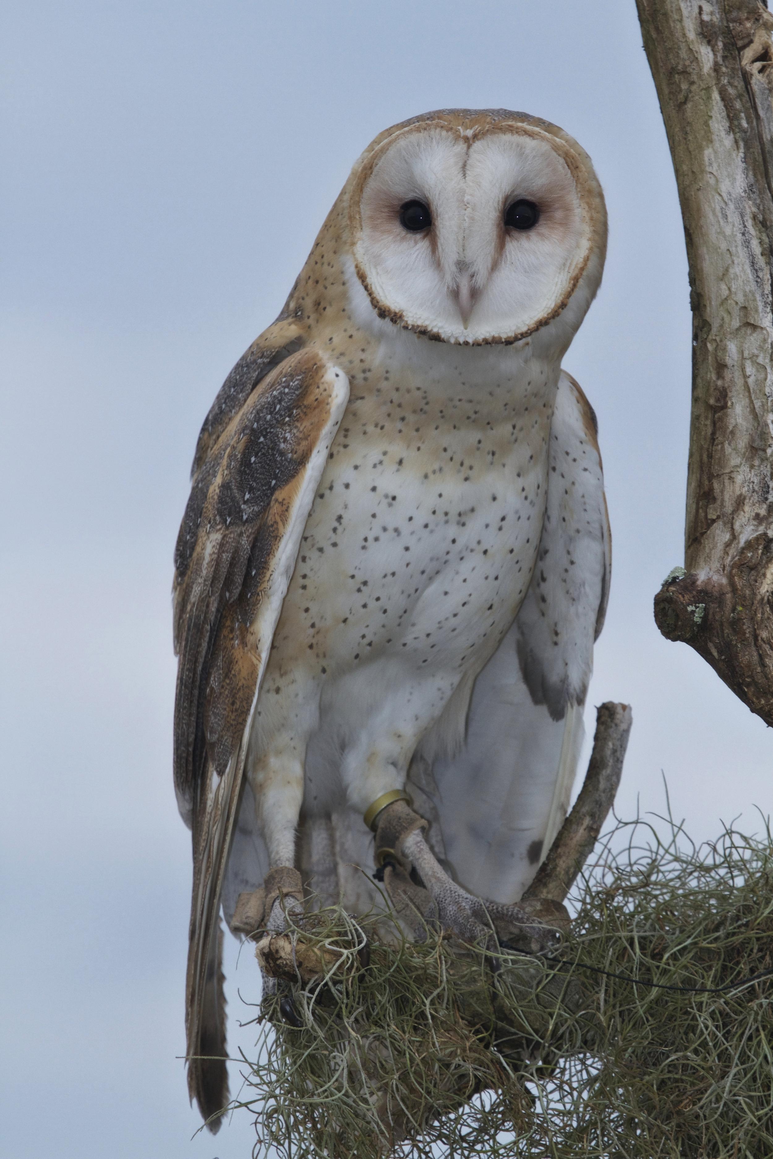 Barn Owl. Who Dat?