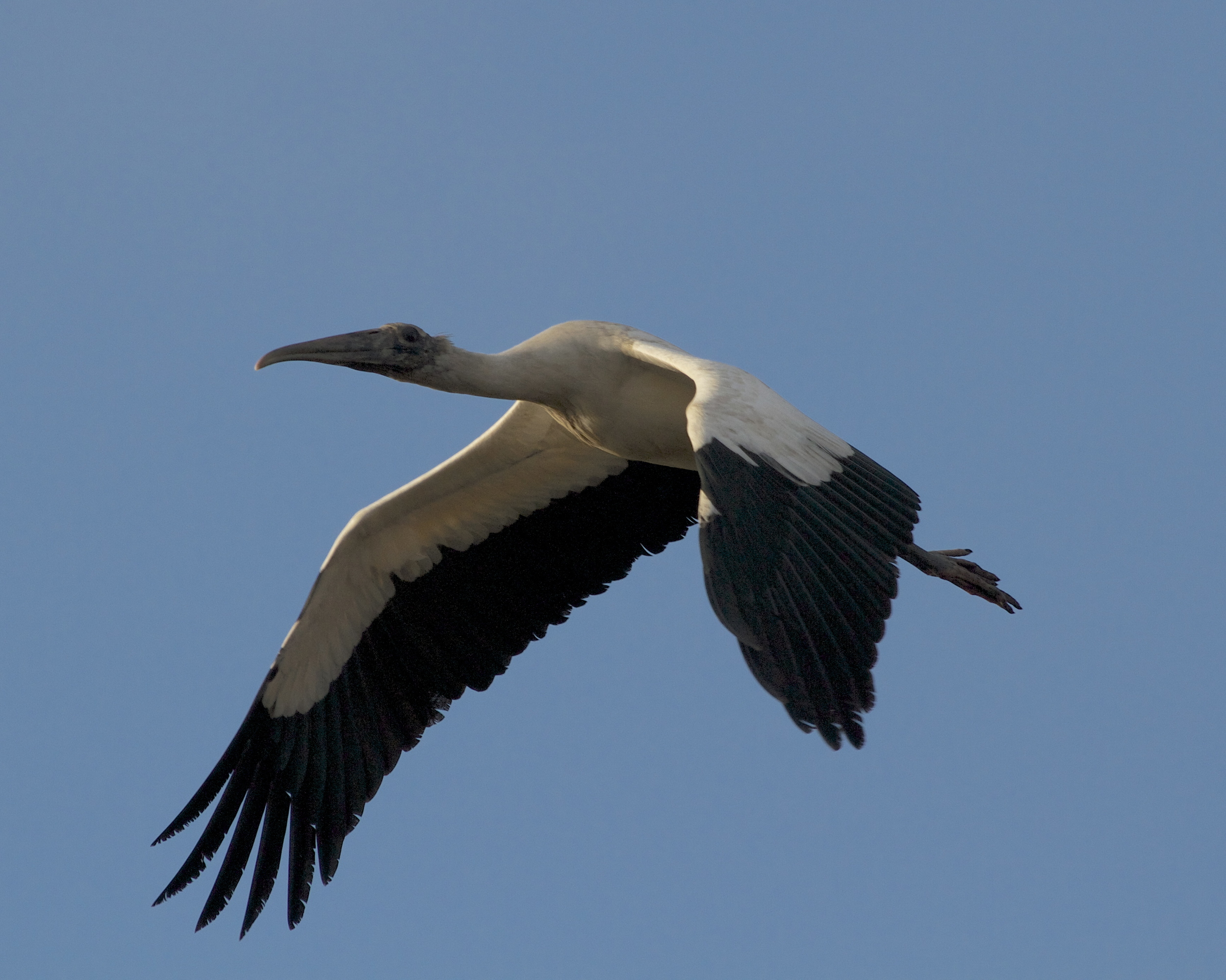 Wood Stork fly by