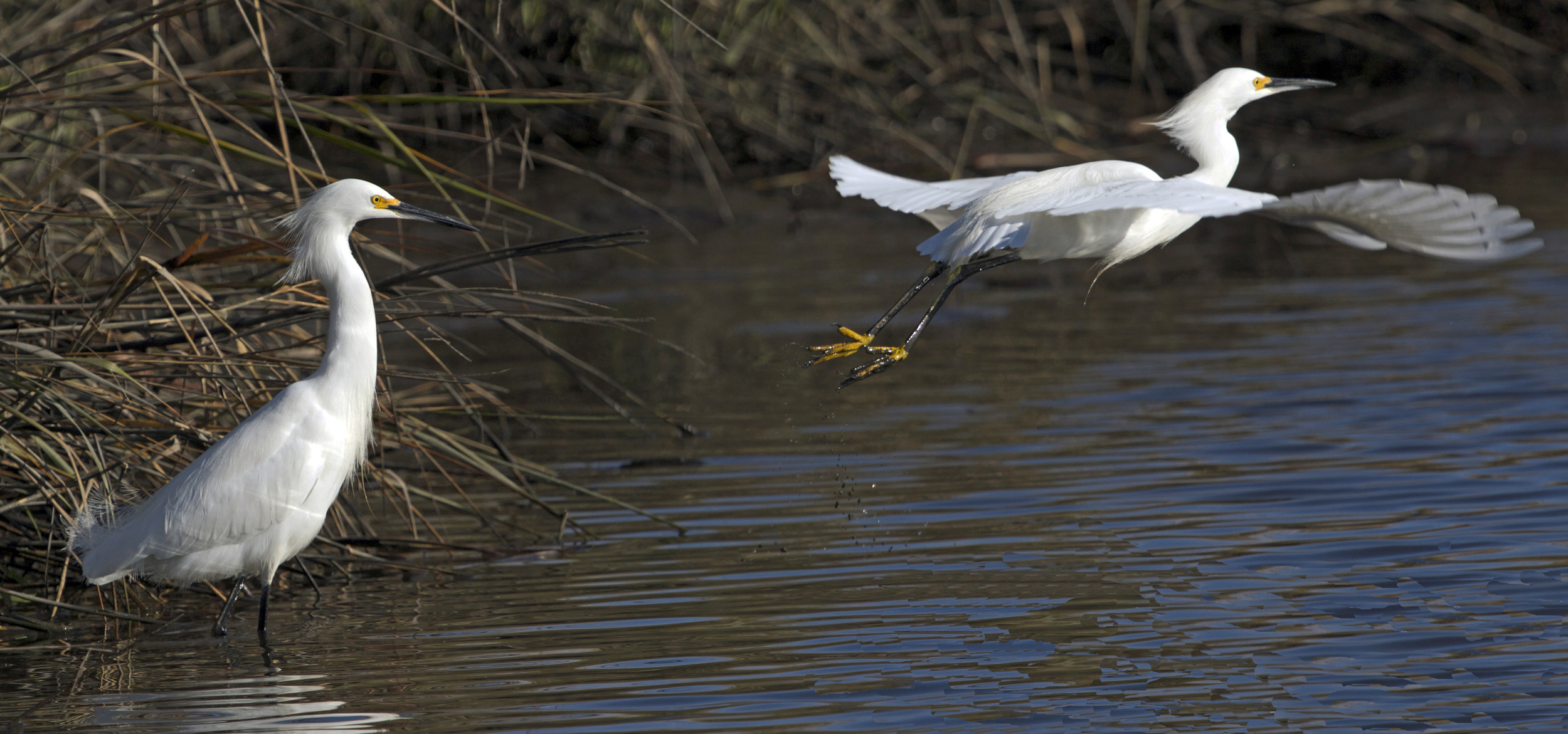 Well, like this Snowy Egret, time for me to fly! (time series takeoff)