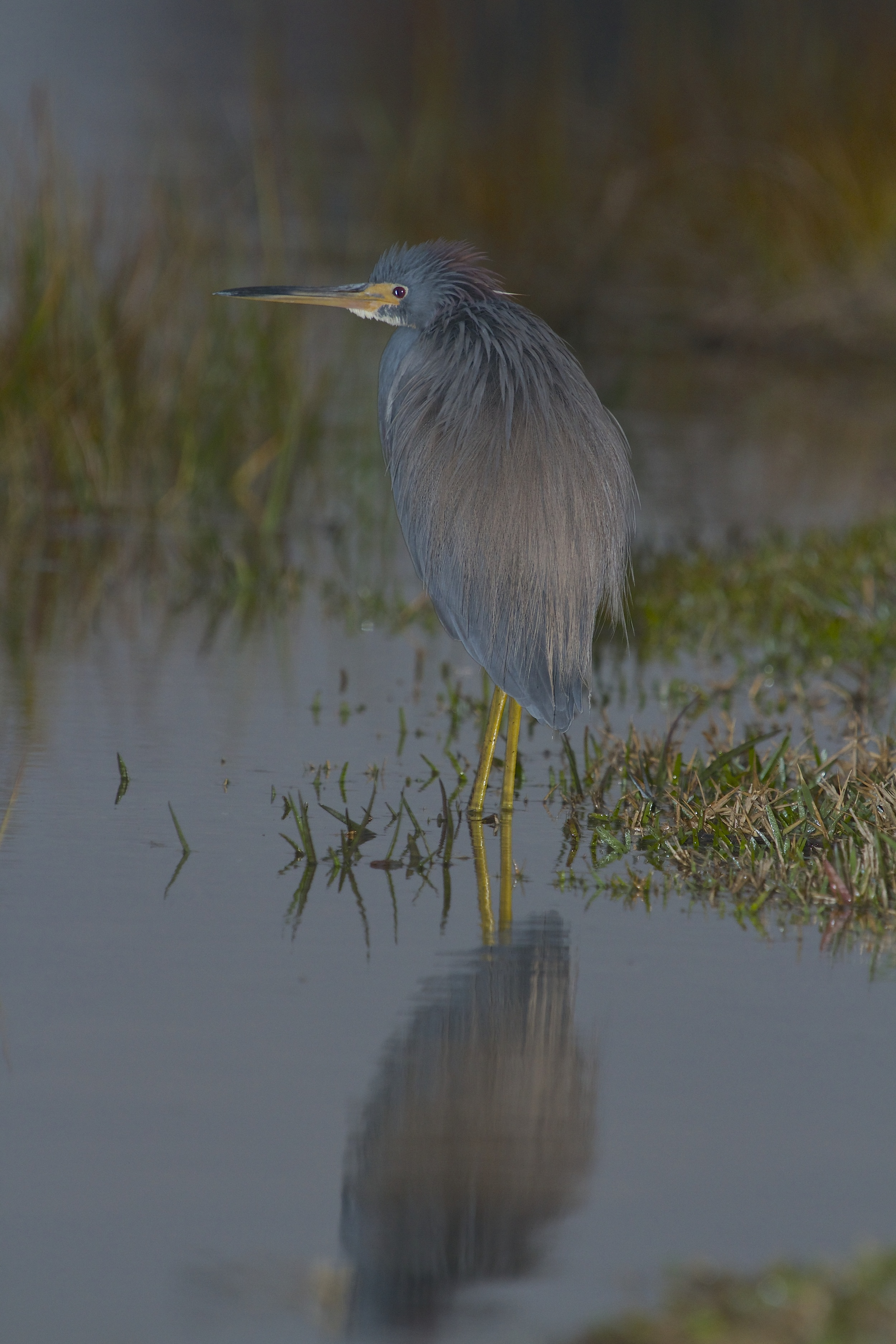Tricolored Heron reflects in the predawn light.