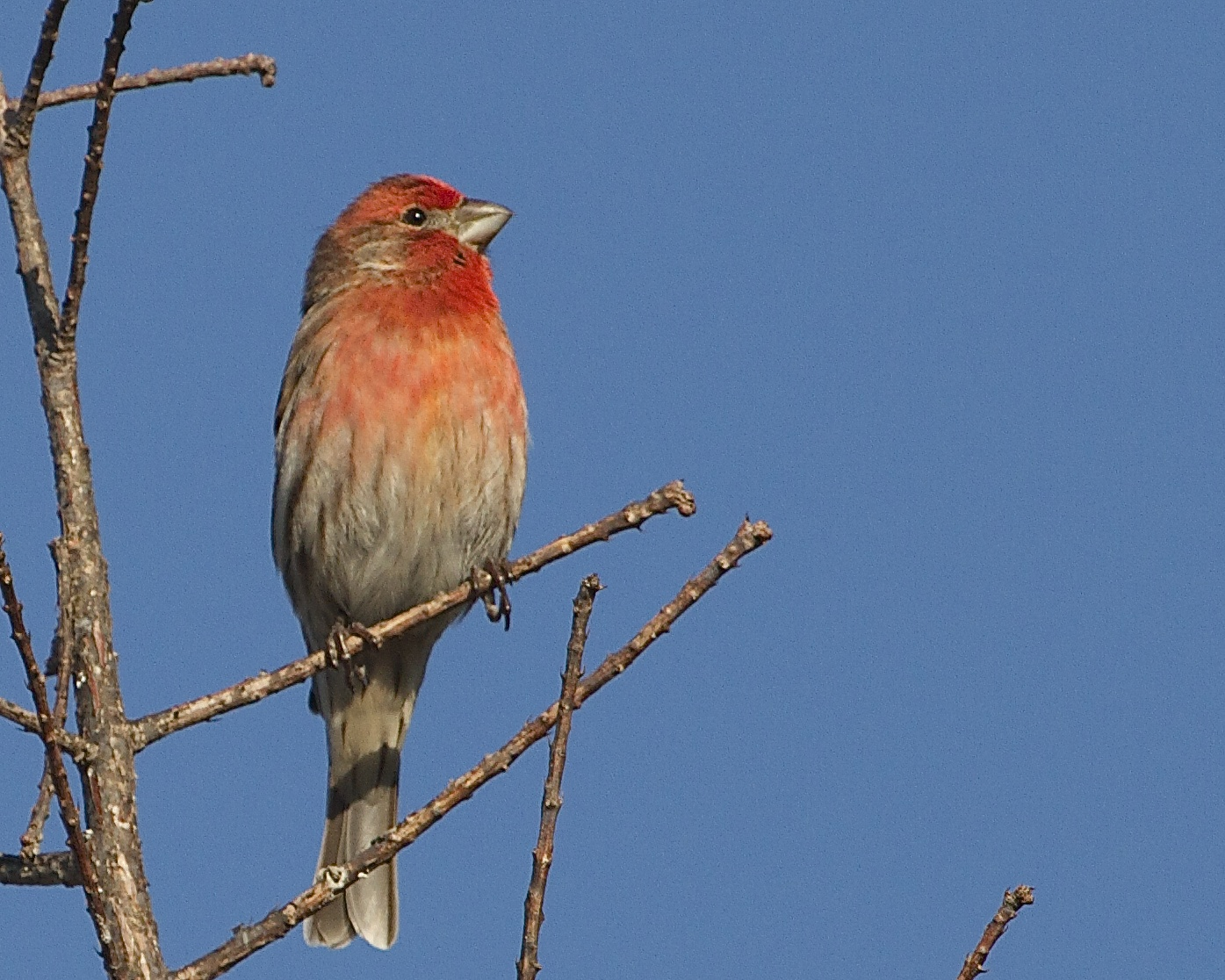 House Finch catches the morning light.