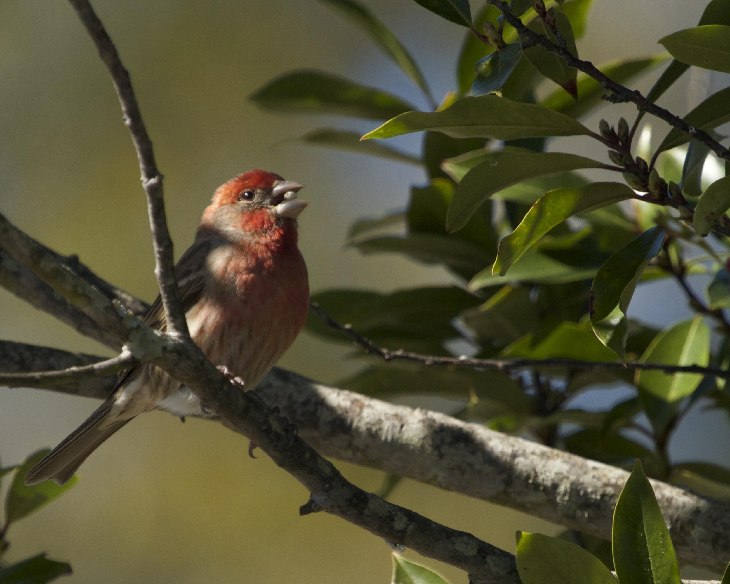 House Finch enjoys a Spring bud.